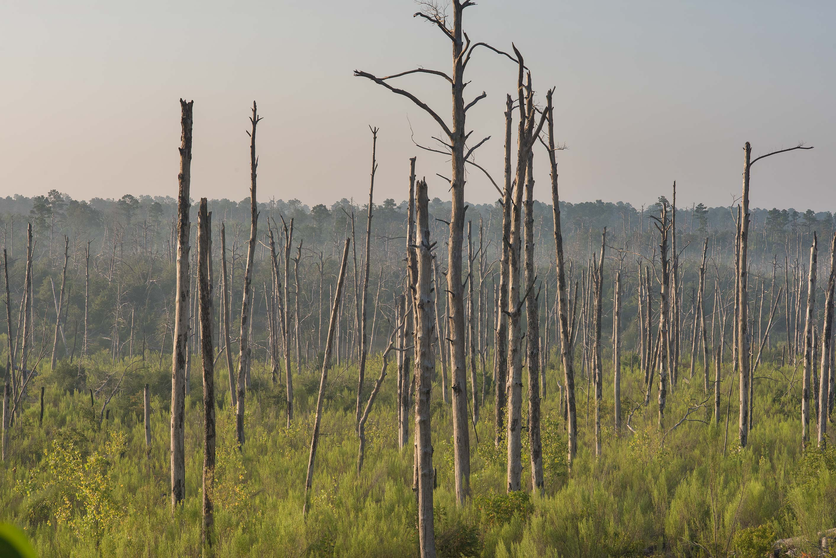 Remains of pine forest near Scenic Overlook in Bastrop State Park. Bastrop, Texas