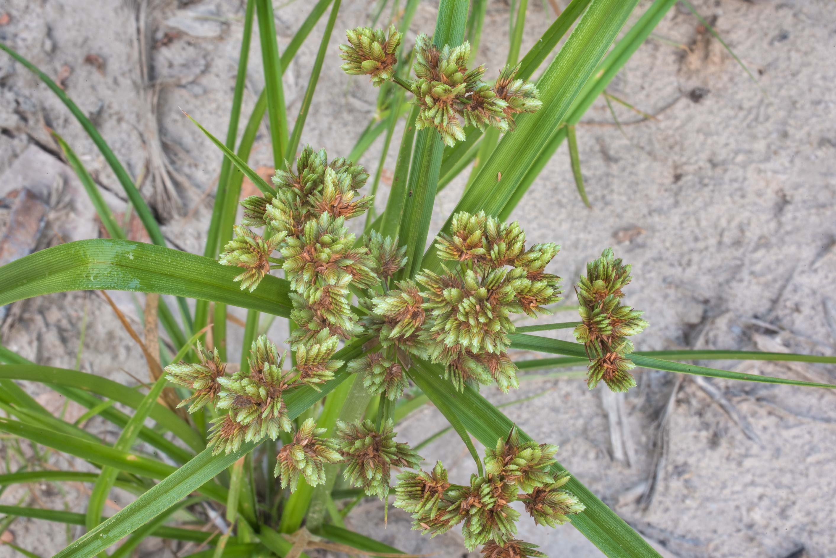 Seeds of bunchy, or many-spiked sedge (Cyperus...Creek Park. College Station, Texas
