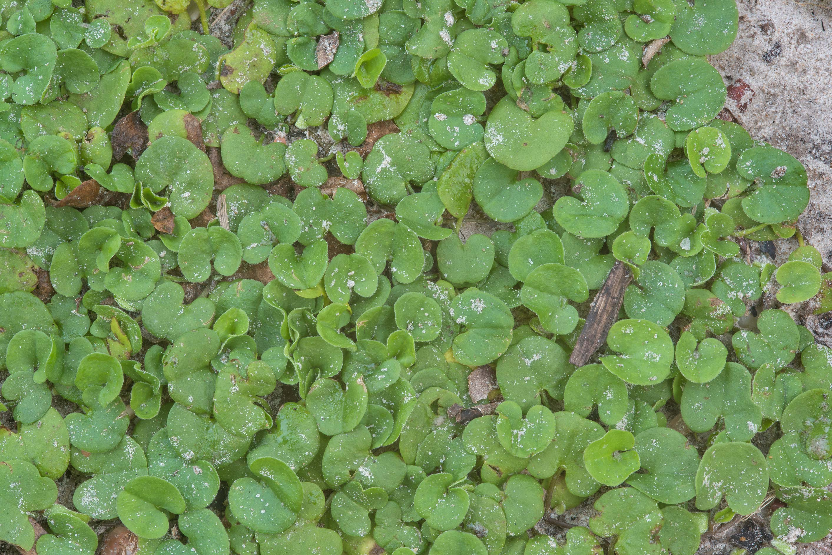 Small leaves of Carolina ponysfoot (Dichondra...Creek Park. College Station, Texas