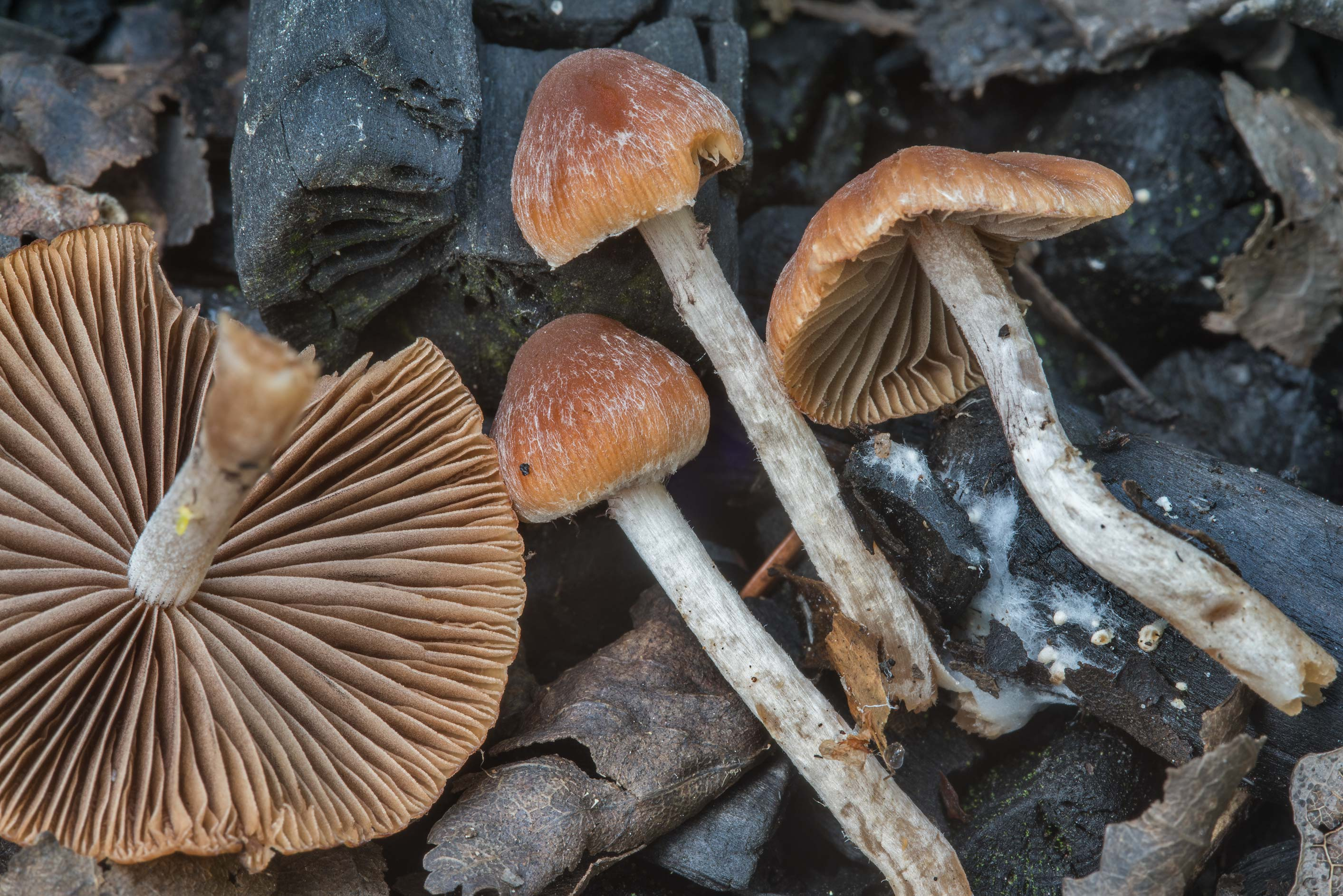 Brittlestem (Psathyrella) mushrooms among...north-west from St.Petersburg, Russia