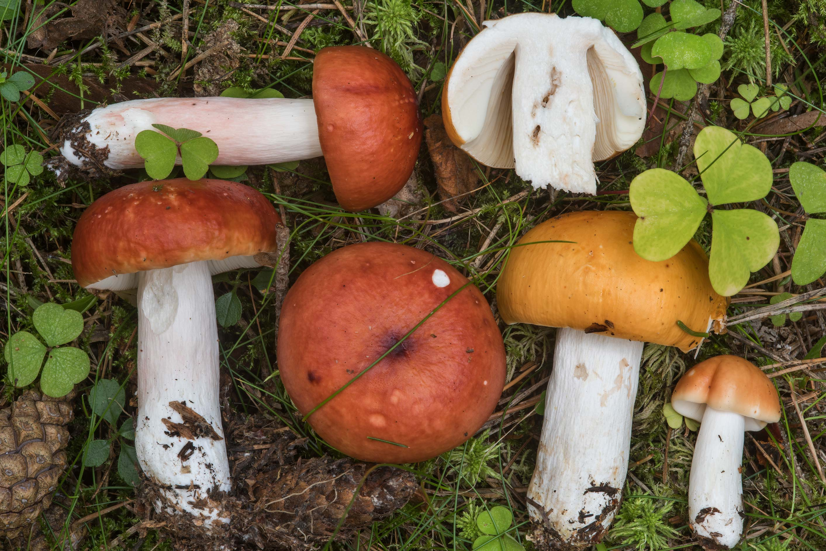 Orange brittlegill mushrooms Russula paludosa in...West from St.Petersburg, Russia