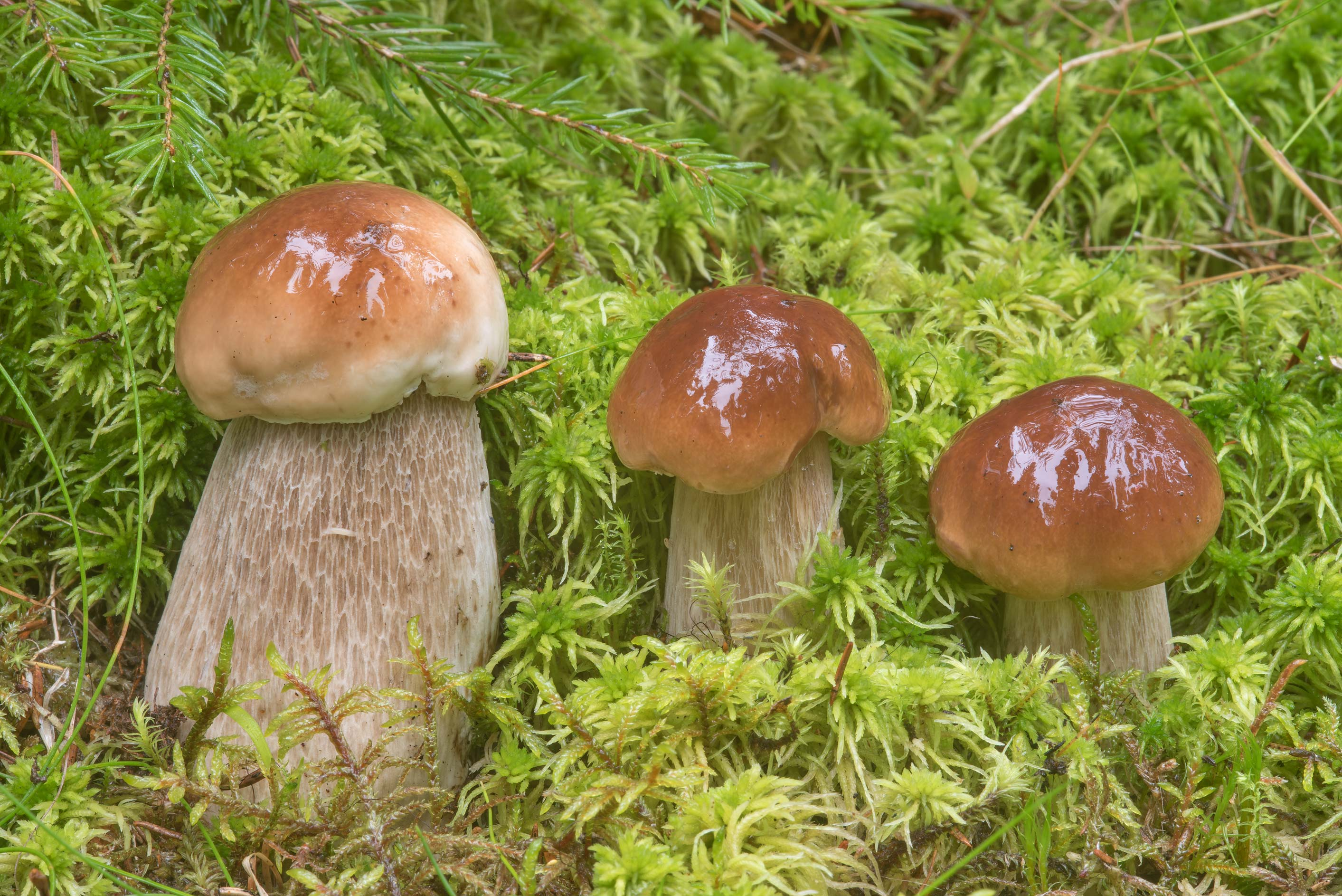 Small porcino mushrooms (Boletus edulis) in moss...north from St.Petersburg. Russia