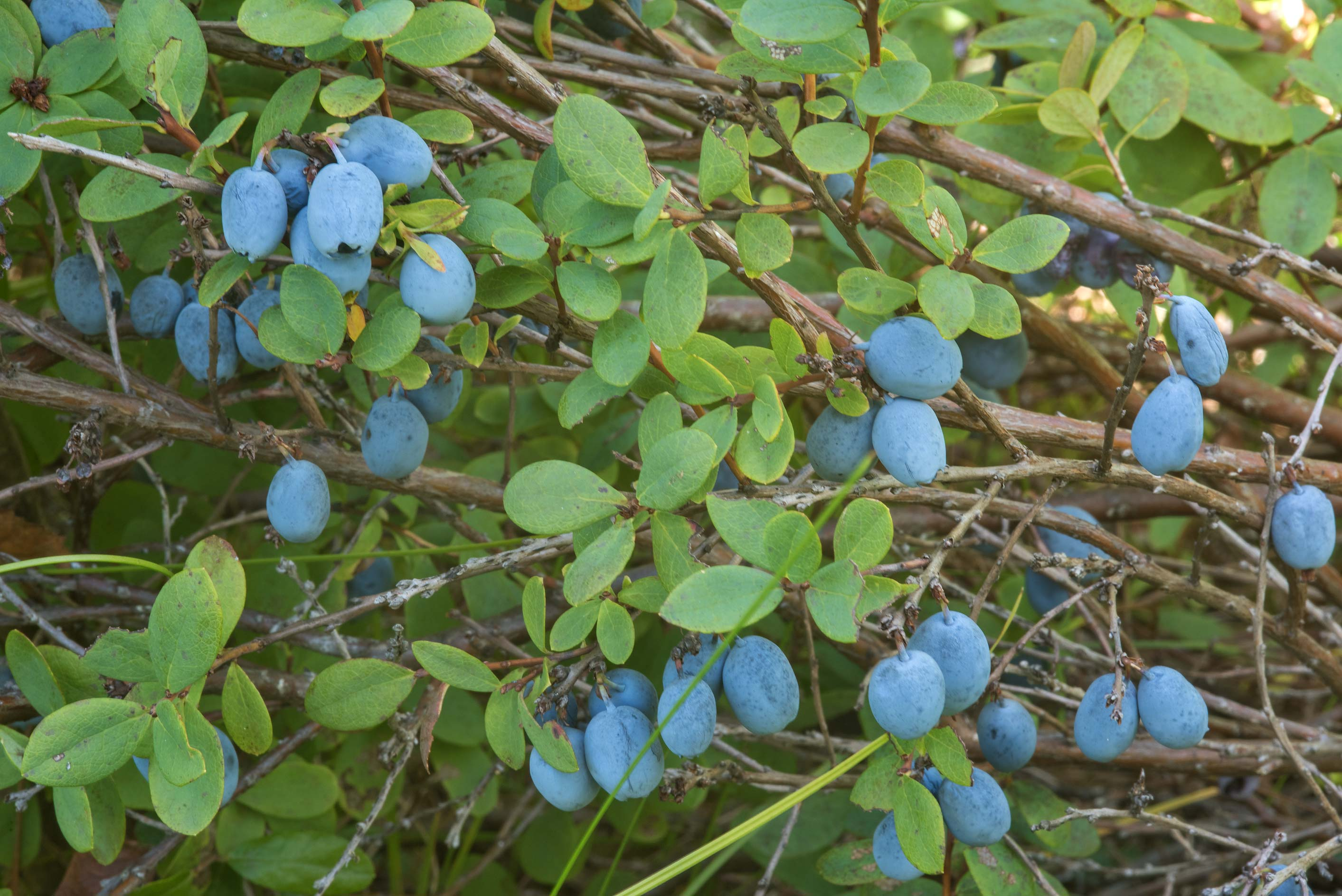 Swamp blueberry (Bog Bilberry, Vaccinium...miles south from St.Petersburg. Russia