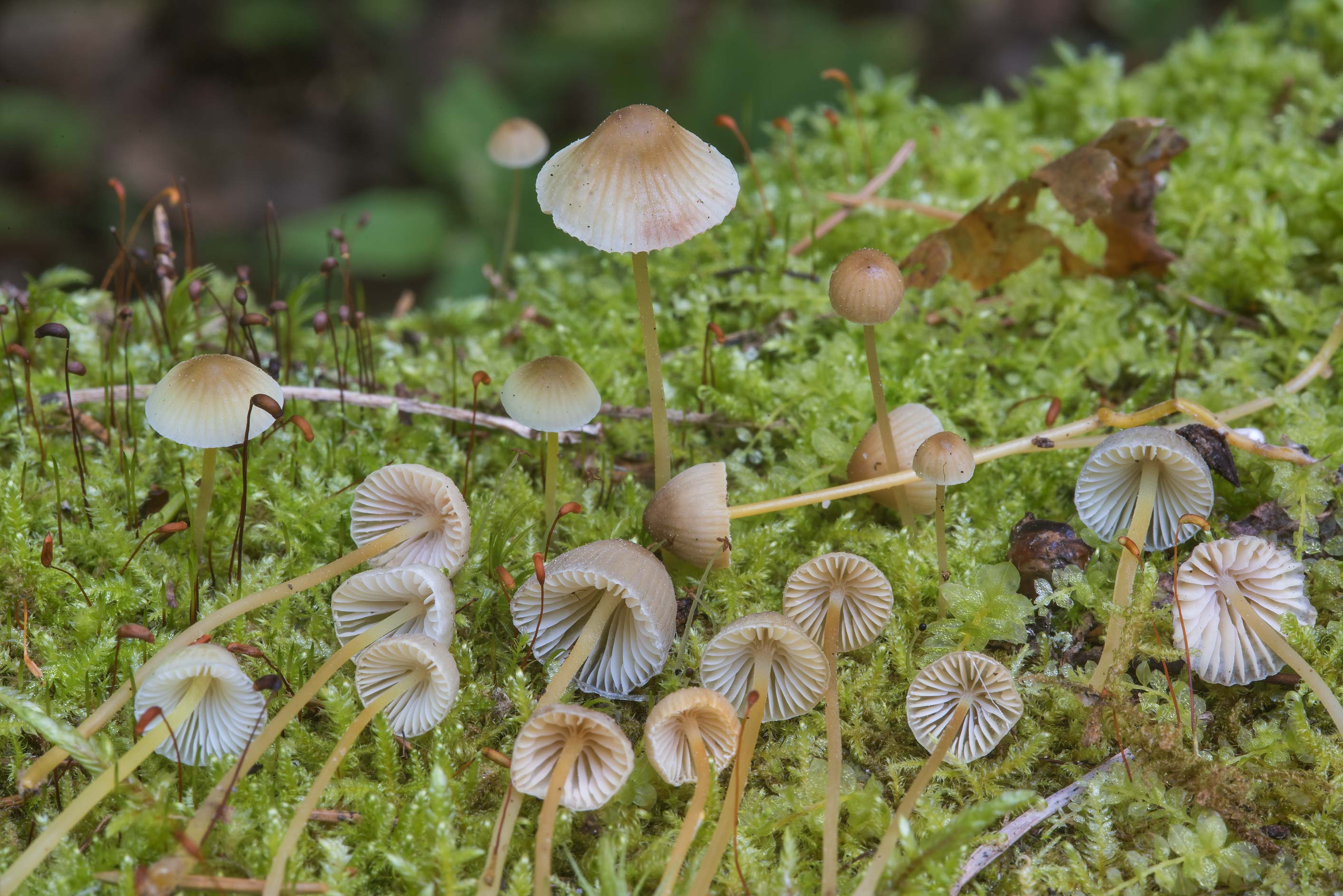 Yellowleg bonnet mushrooms (Mycena epipterygia...north from St.Petersburg. Russia