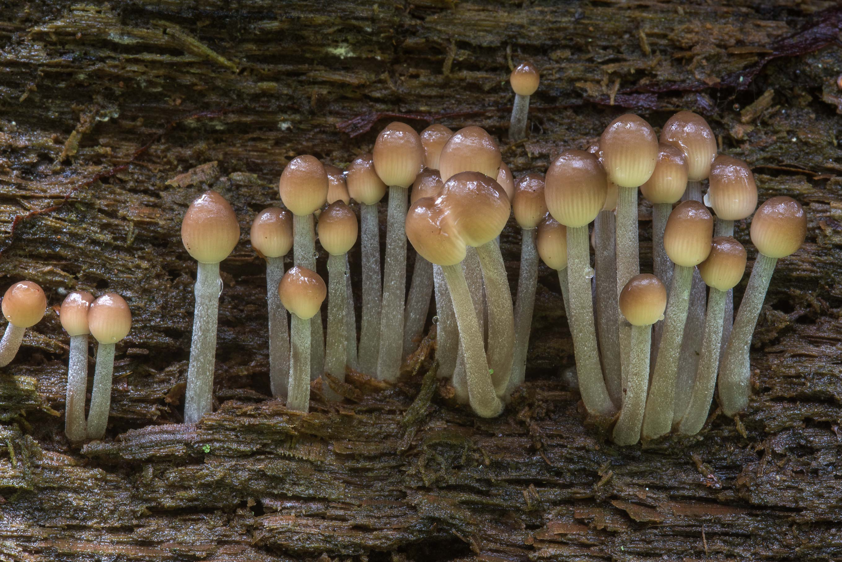 Immature clustered bonnet mushrooms (Mycena...Nos. West from St.Petersburg, Russia