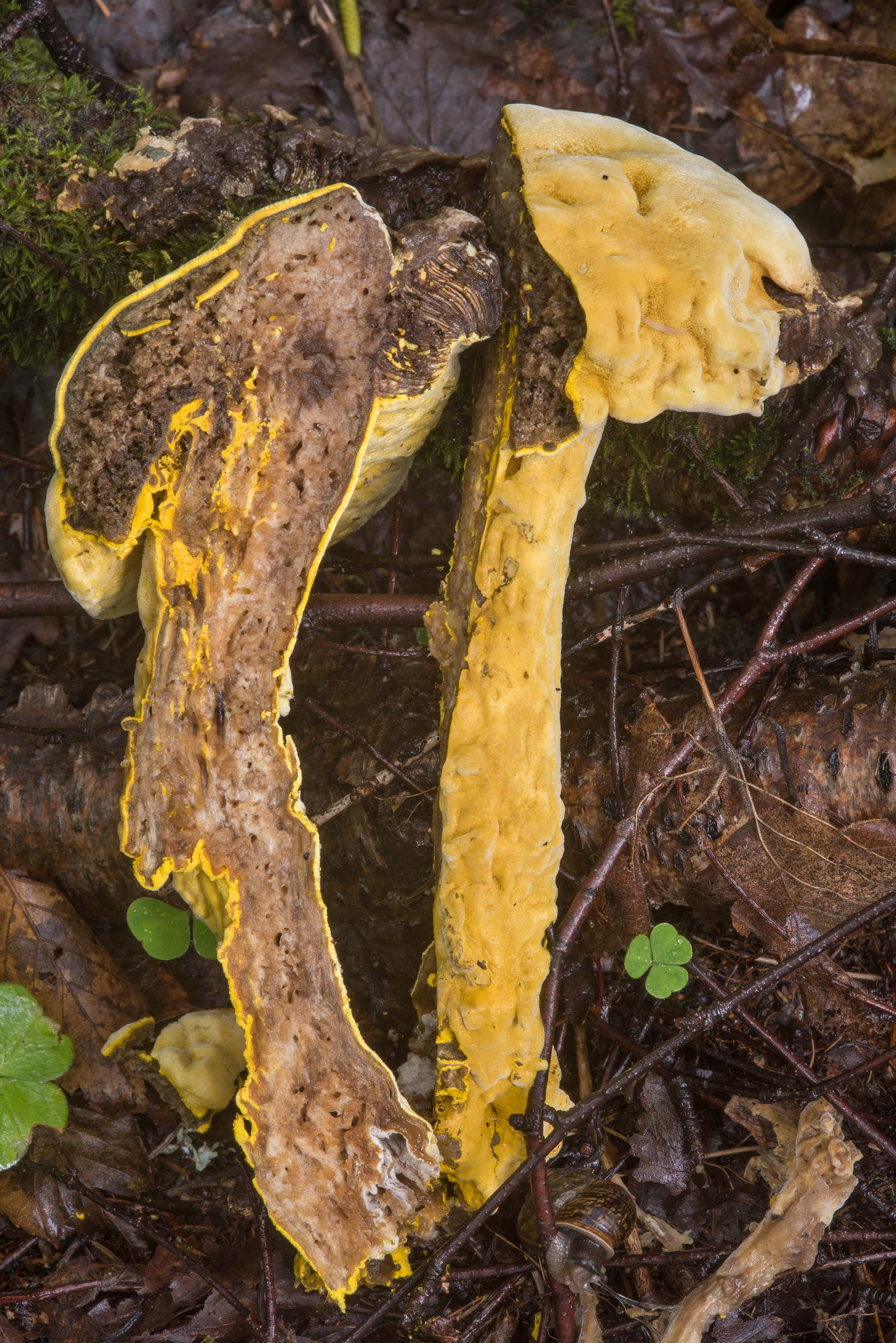 Dissected bolete with mold fungus Hypomyces...Nos. West from St.Petersburg, Russia