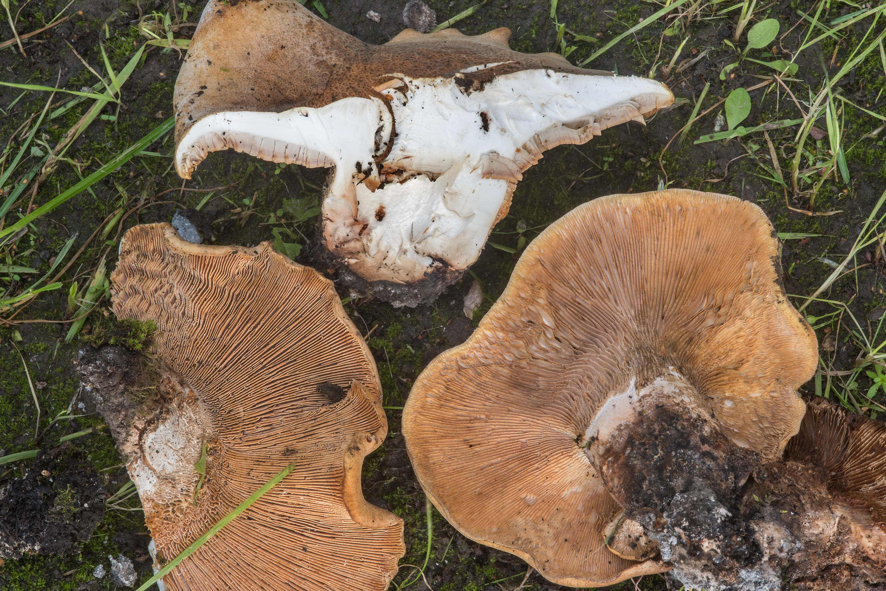 Dissected giant sawtooth (Lentinus) mushrooms...Savushkina St.. St.Petersburg, Russia