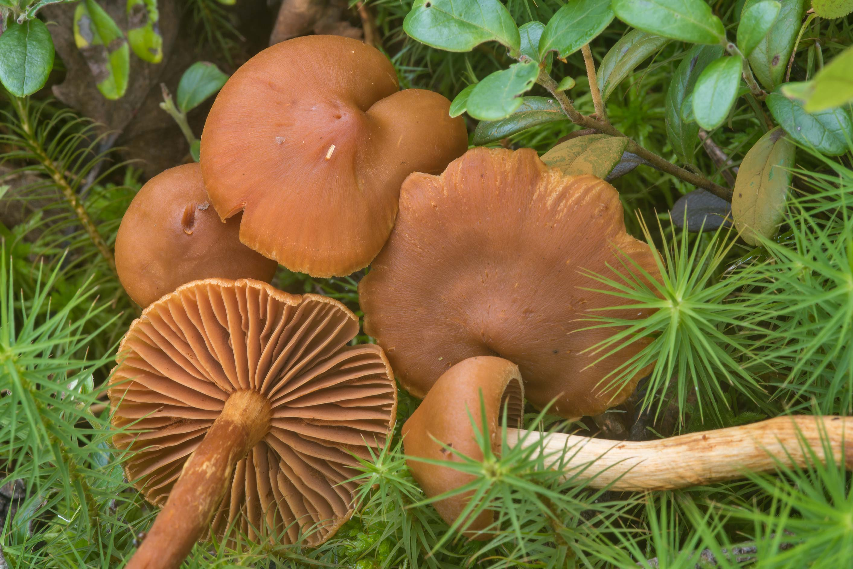 Some orange webcap (Cortinarius) mushrooms near...north-west from St.Petersburg. Russia