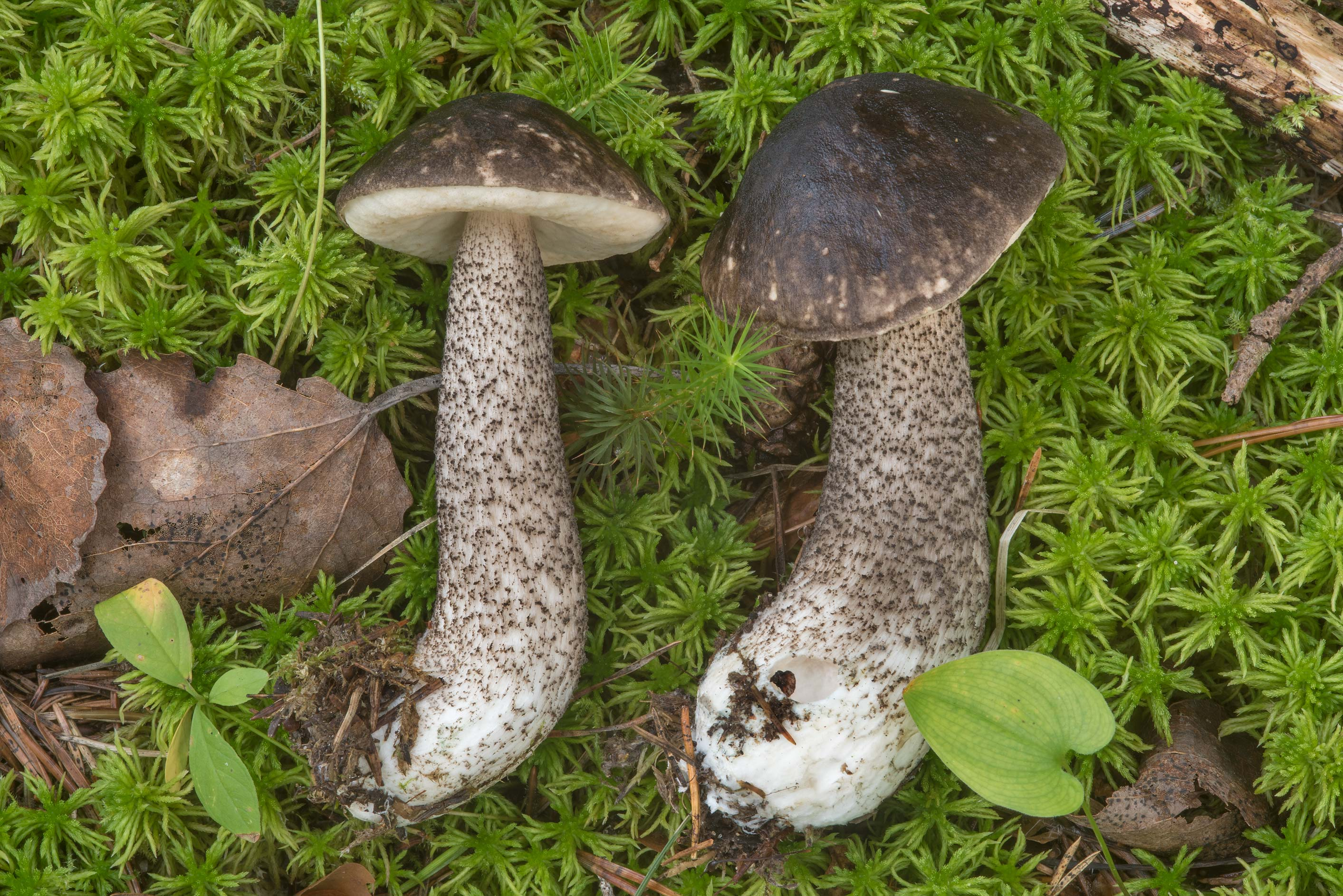 Mottled bolete mushrooms (Leccinum variicolor...north-west from St.Petersburg. Russia