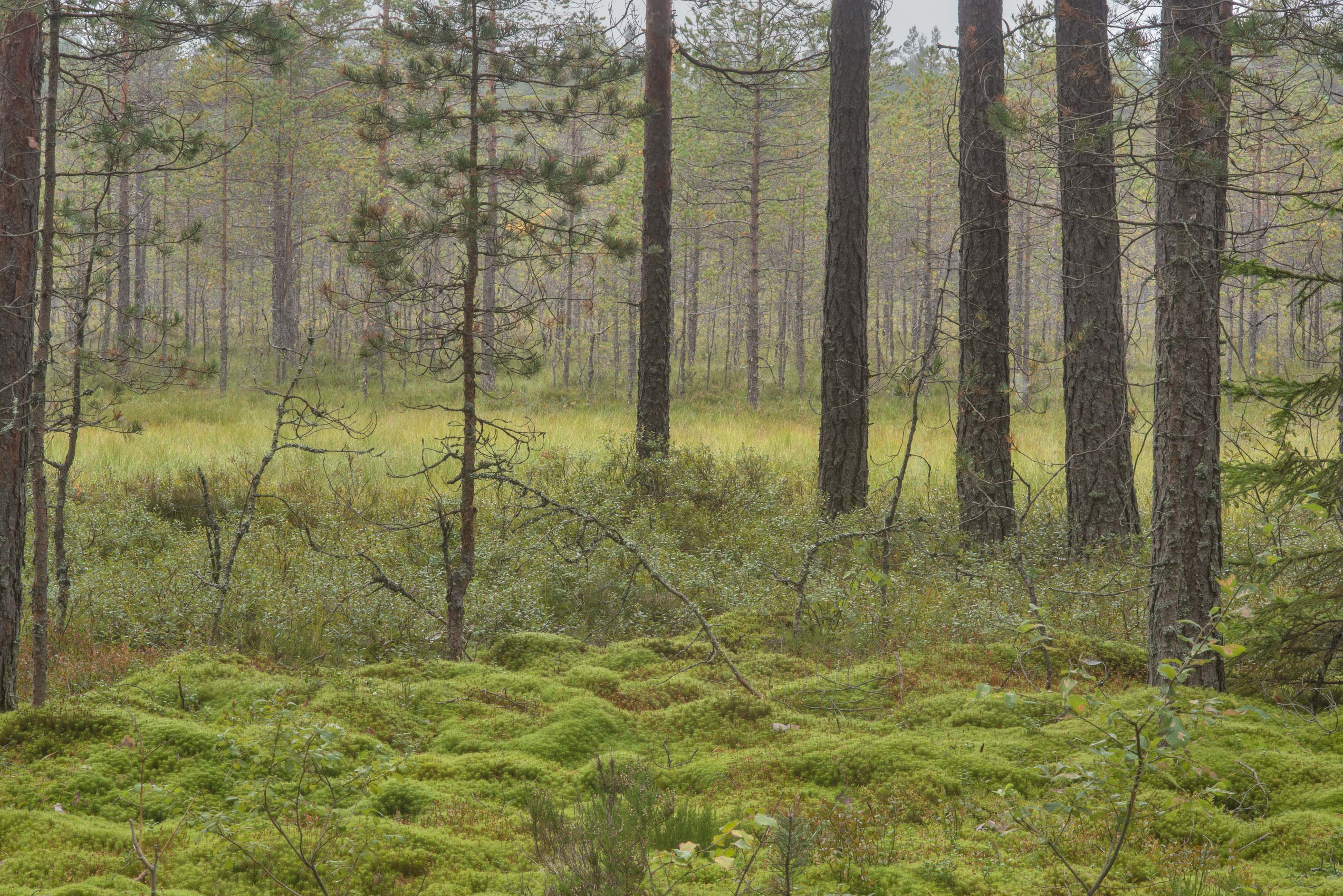 Pine forest and a swamp near Zakhodskoe...miles north from St.Petersburg. Russia