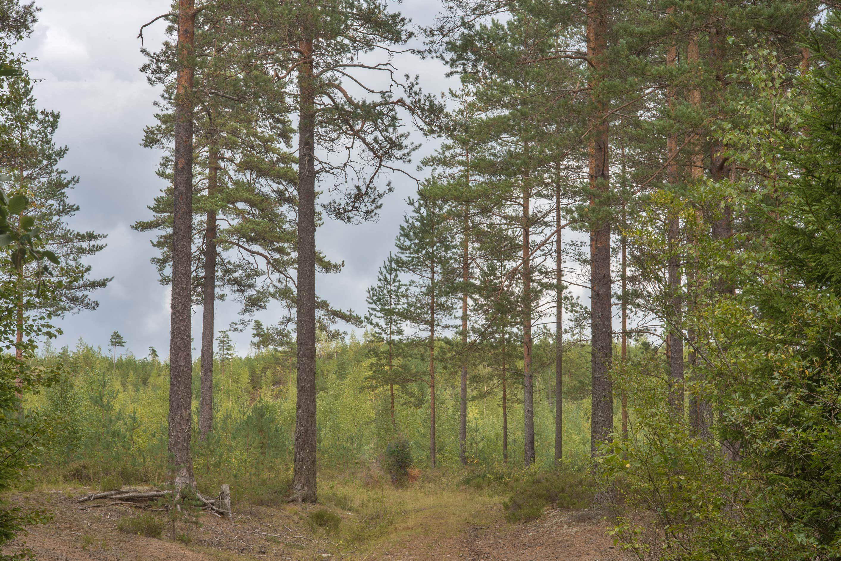Pine forest west from Kannelyarvi, 45 miles north from St.Petersburg. Russia