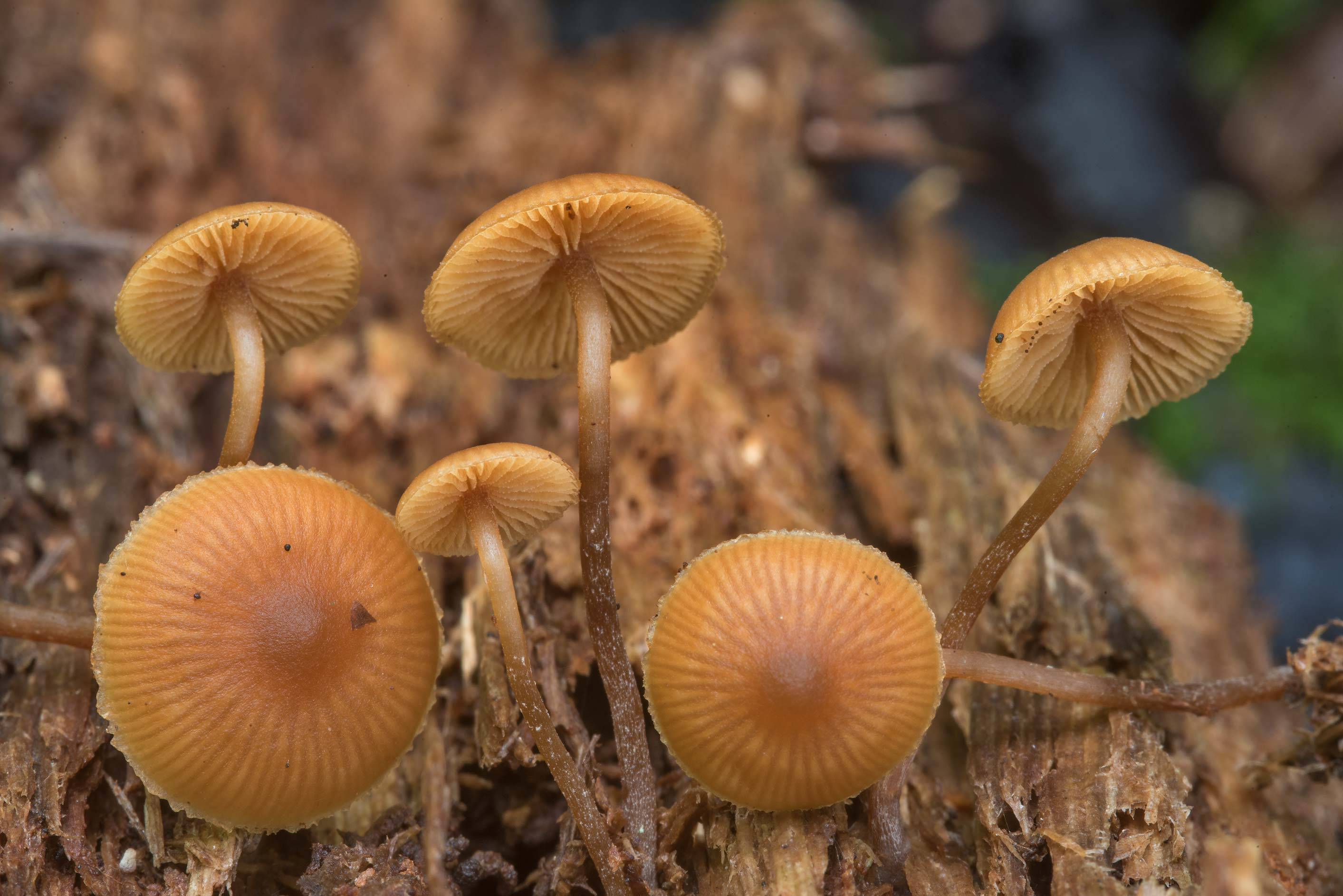 Close up of bell mushrooms Galerina mammillata on...Nos, west from St.Petersburg. Russia