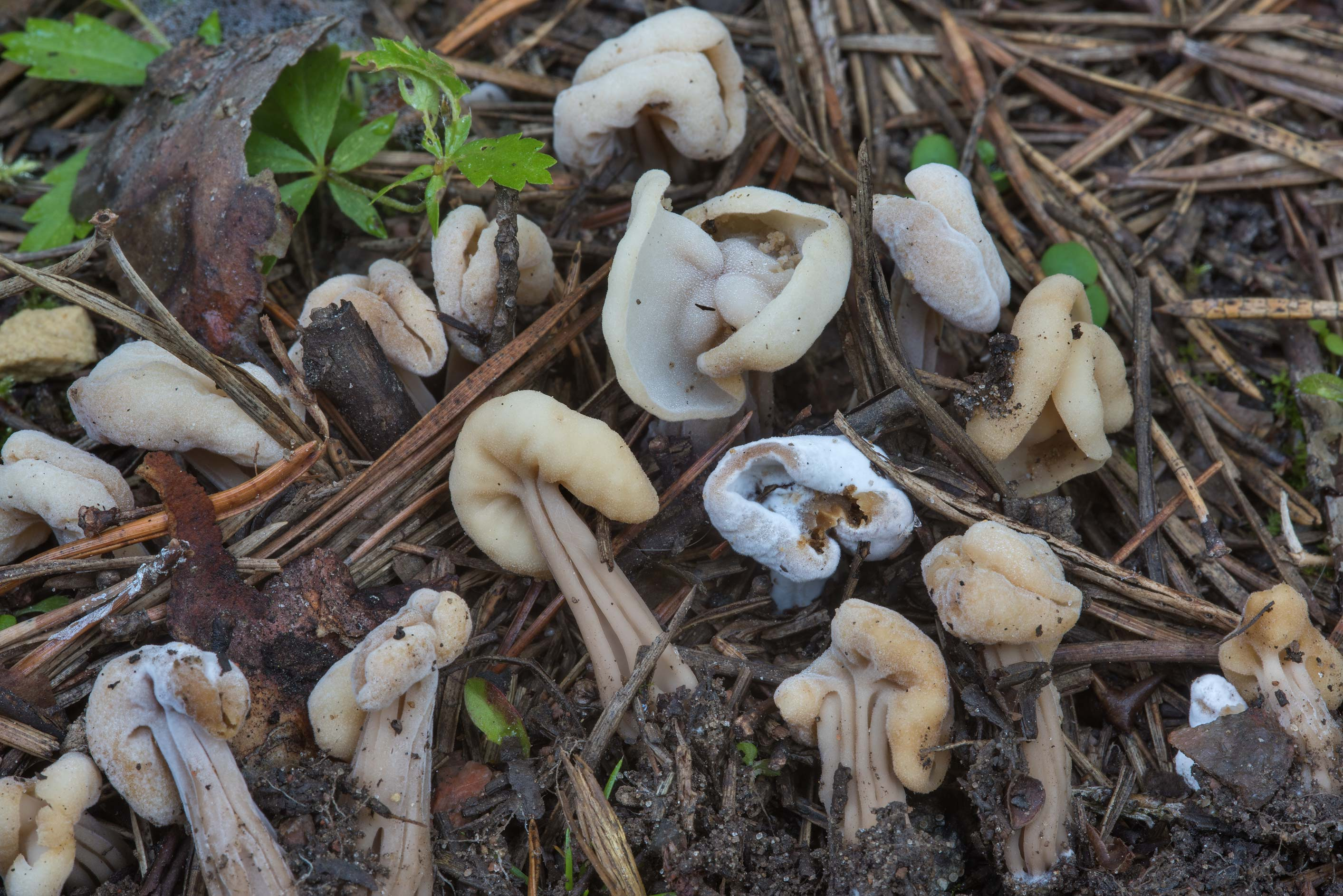 Small elfin saddle mushrooms (Helvella crispa...north-west from St.Petersburg, Russia