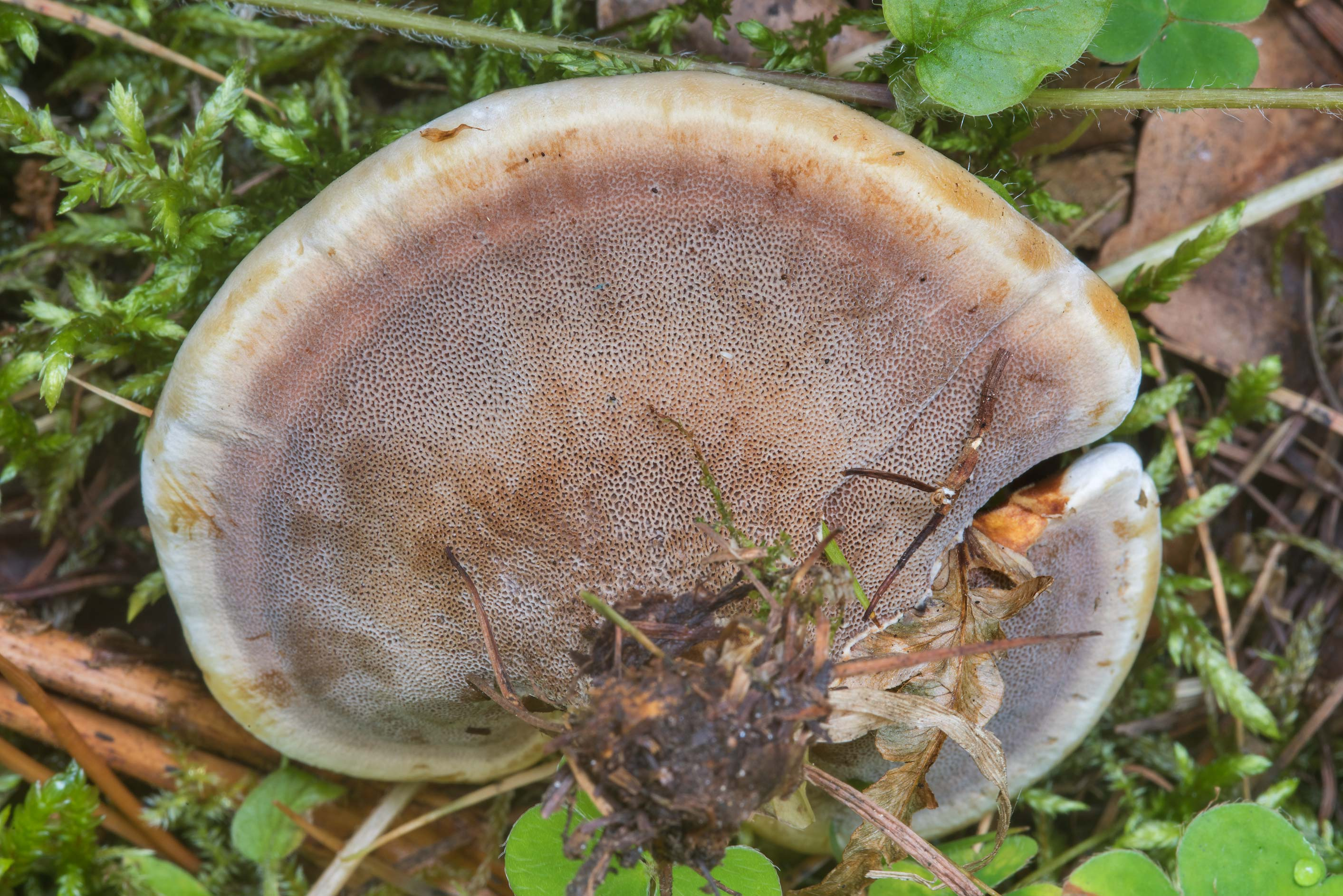 Pores of a woolly velvet polypore mushroom (Onnia...north-west from St.Petersburg. Russia