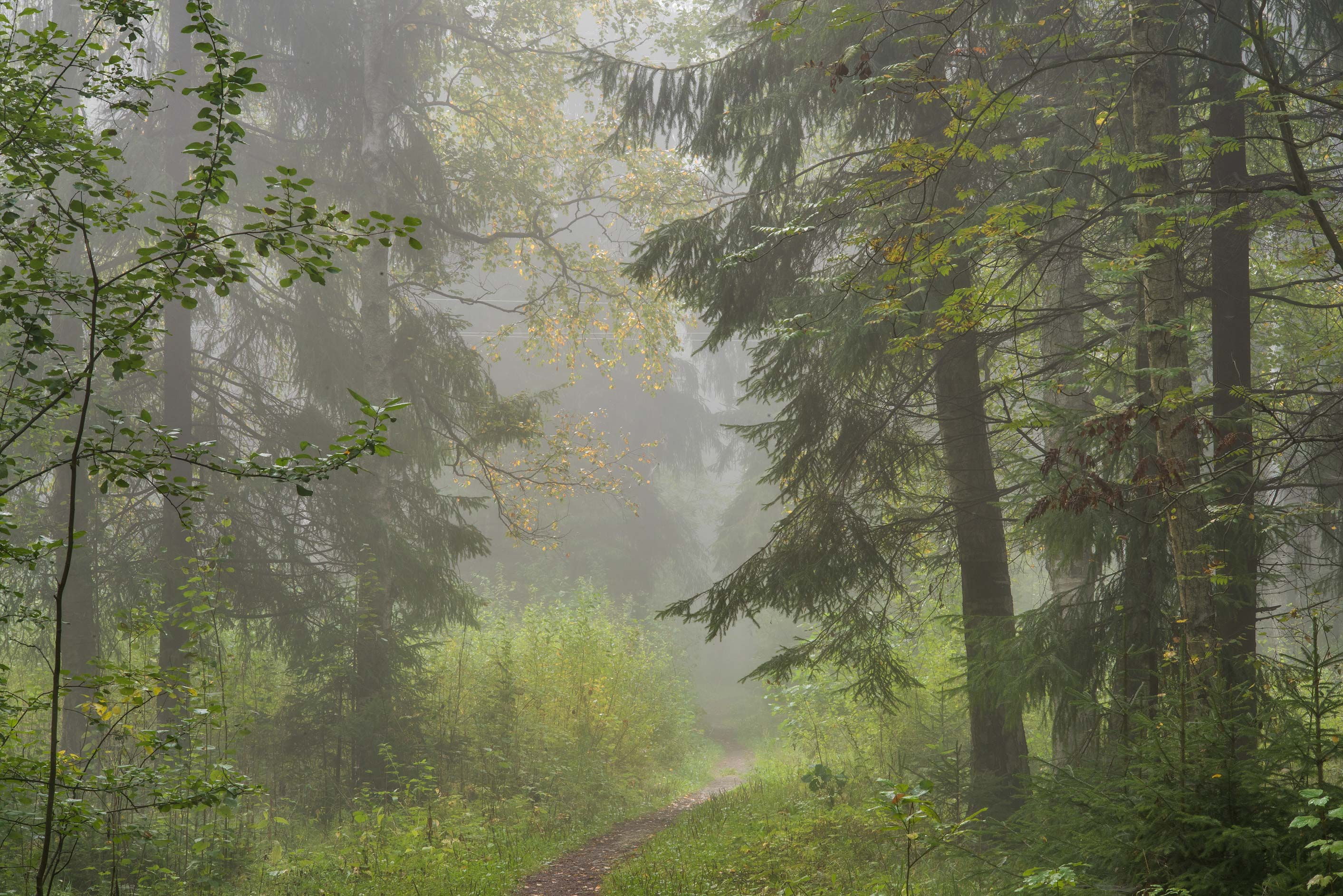Spruce forest in fog near Lisiy Nos, west from St.Petersburg. Russia