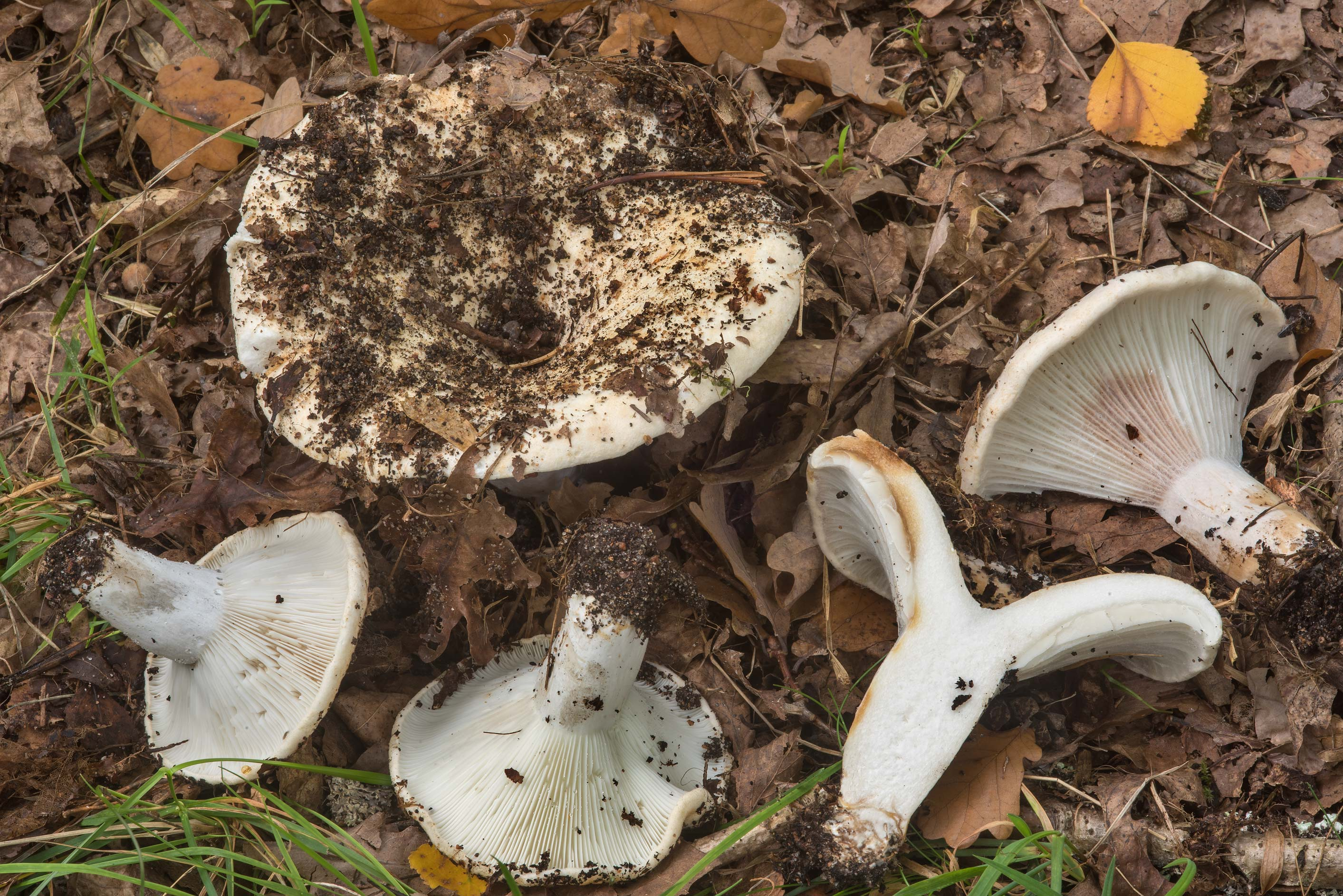 Milk white brittlegill mushrooms (Russula delica...west from St.Petersburg. Russia