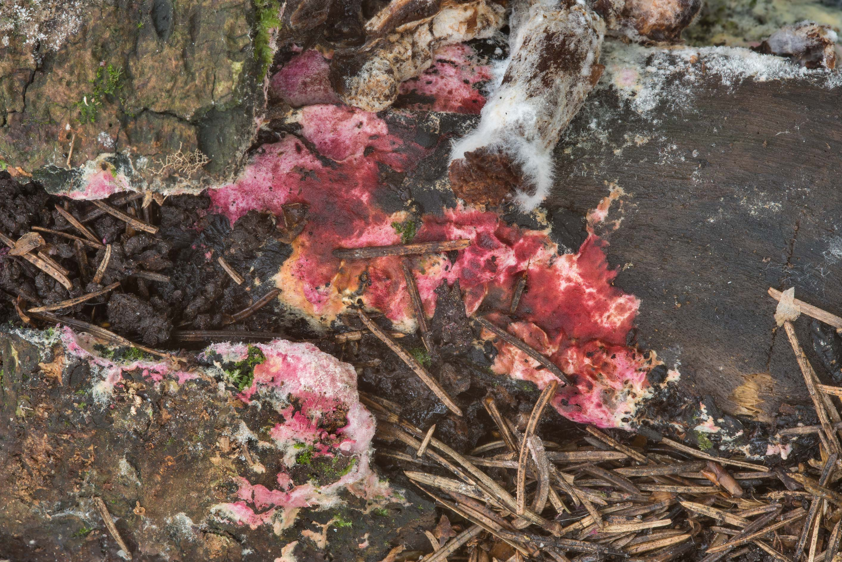 Some pinkish mold fungus on rotten wood in area...a suburb of St.Petersburg, Russia