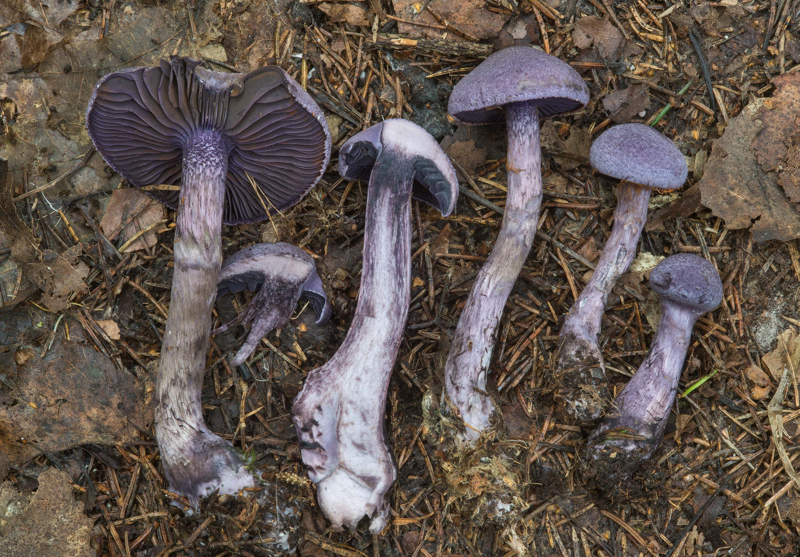 Dissected violet webcap mushrooms (Cortinarius...a suburb of St.Petersburg, Russia