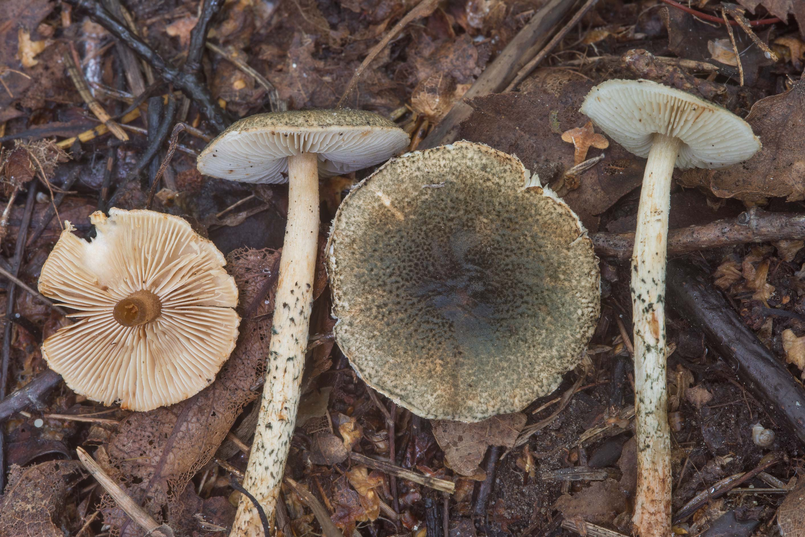 Slideshow 2352-24: Dark scales of green dapperling mushrooms