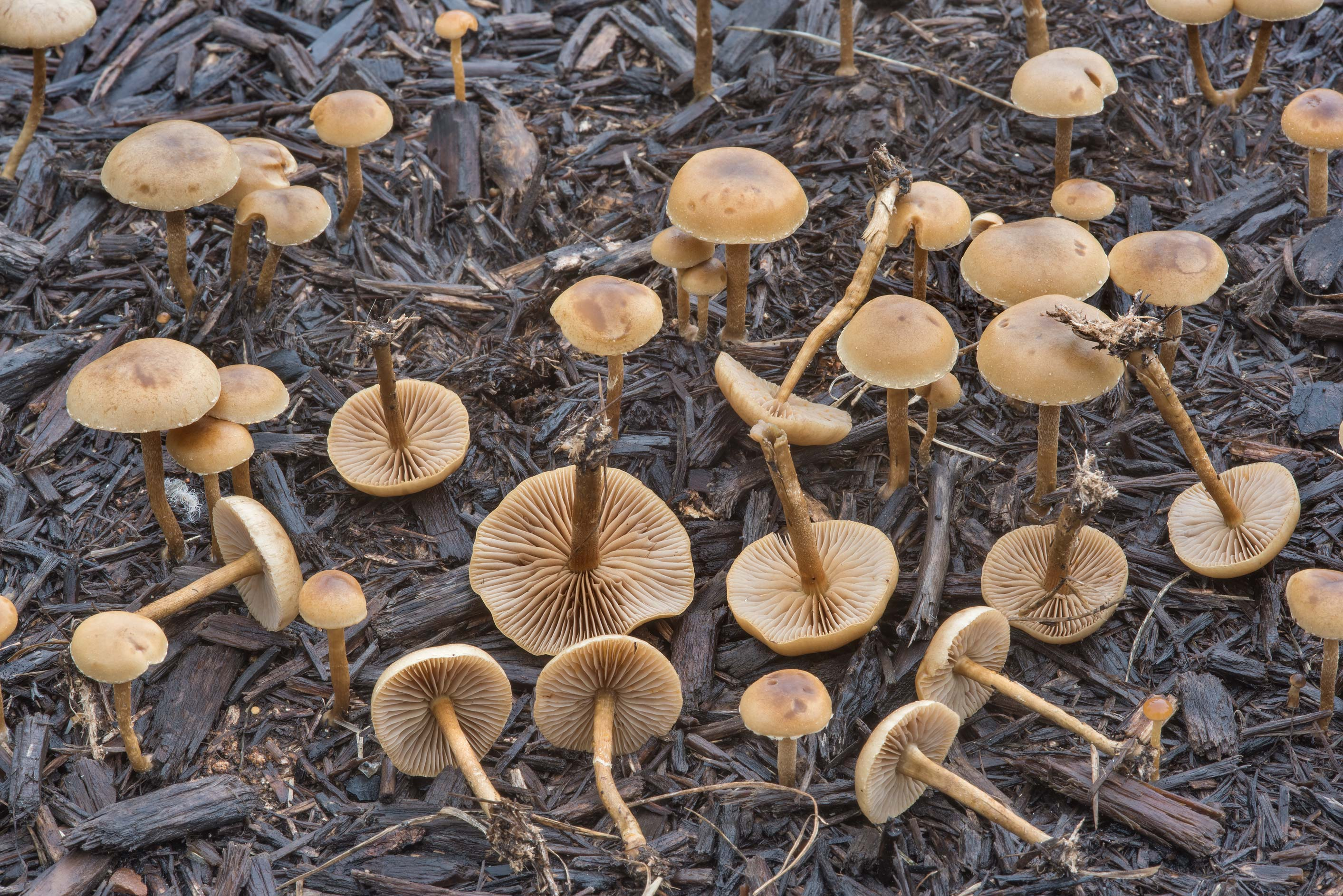 Common fieldcap mushrooms (Agrocybe pediades) on...Creek Park. College Station, Texas