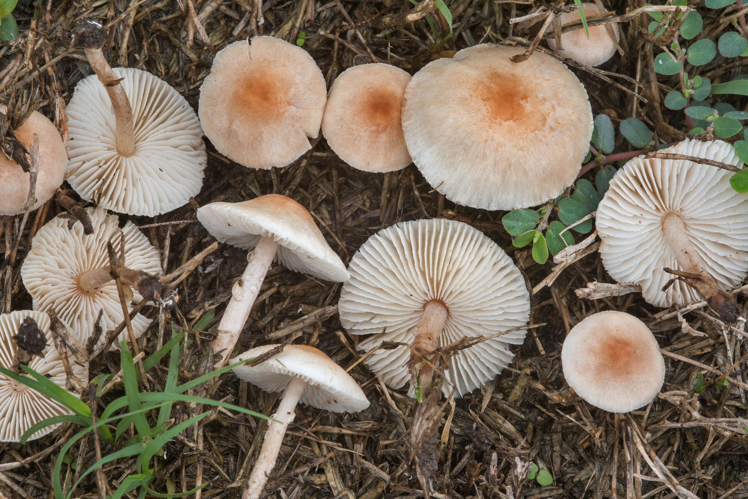 Small pink Lepiota mushrooms on a lawn in Bee Creek Park. College Station, Texas
