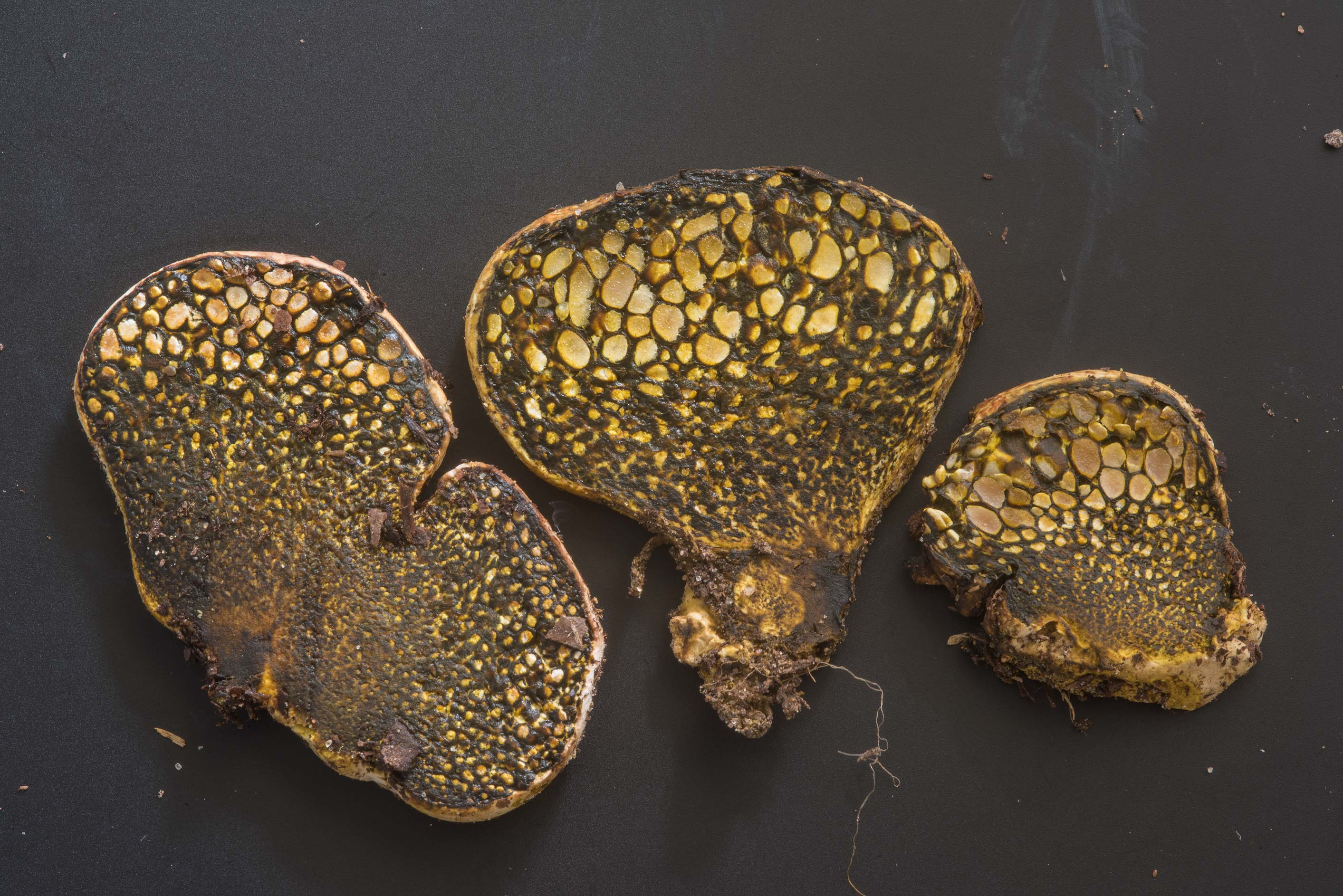 Dissectedorse dung fungus (dyeball mushroom...M University. College Station, Texas