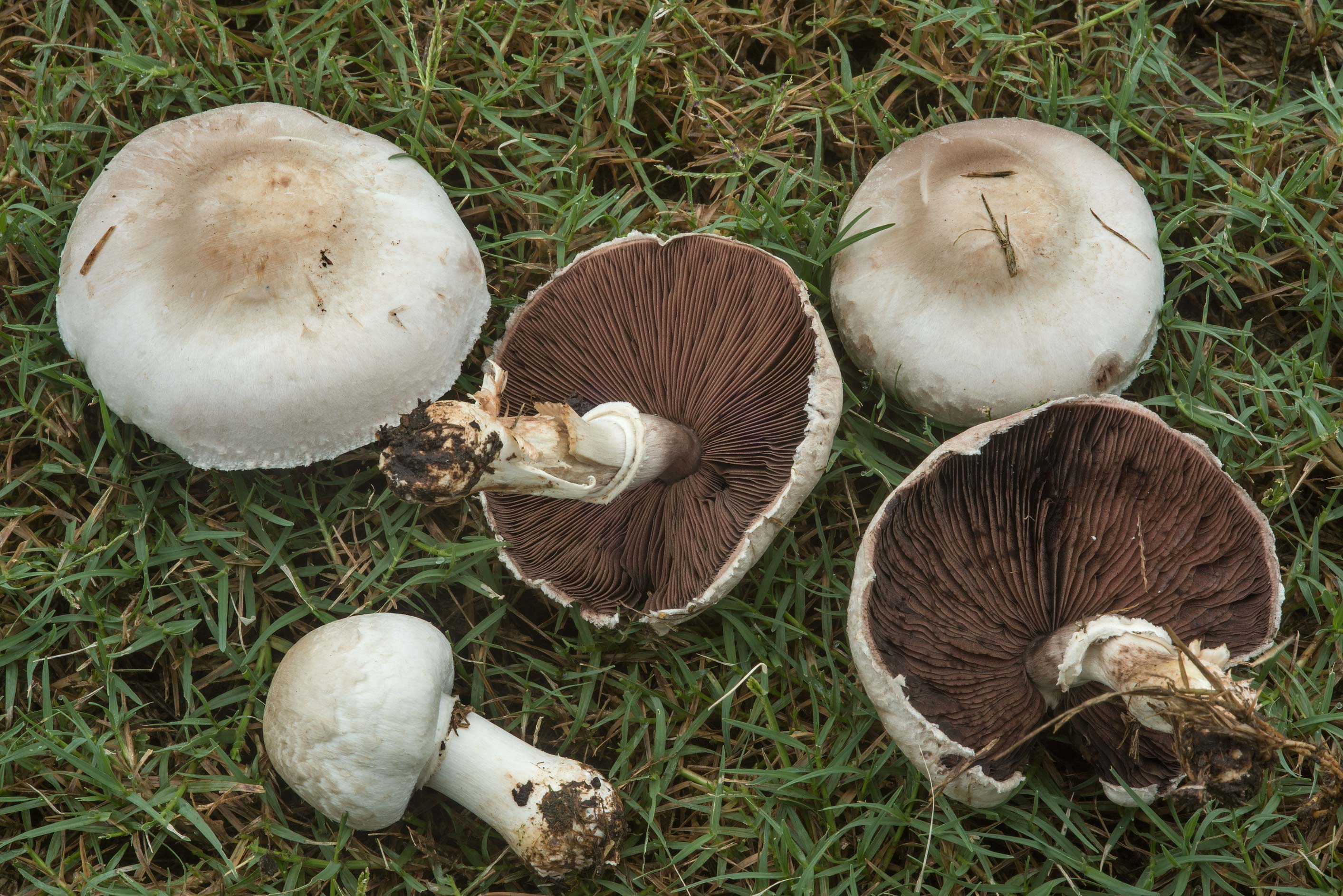 Agaricus mushrooms on gulf course of Texas A&M University. College Station, Texas