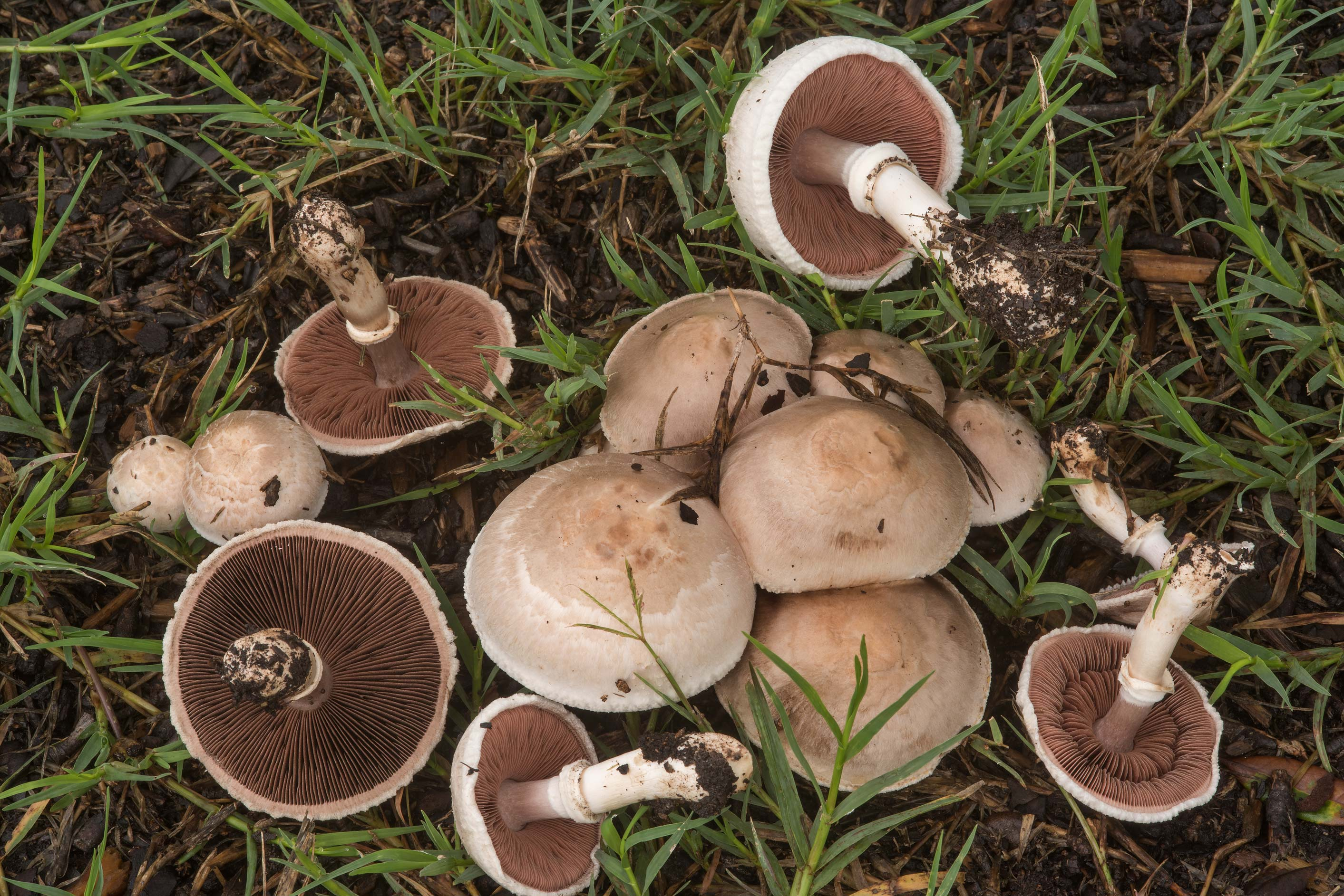 Group of Agaricus mushrooms on a lawn on campus...M University. College Station, Texas