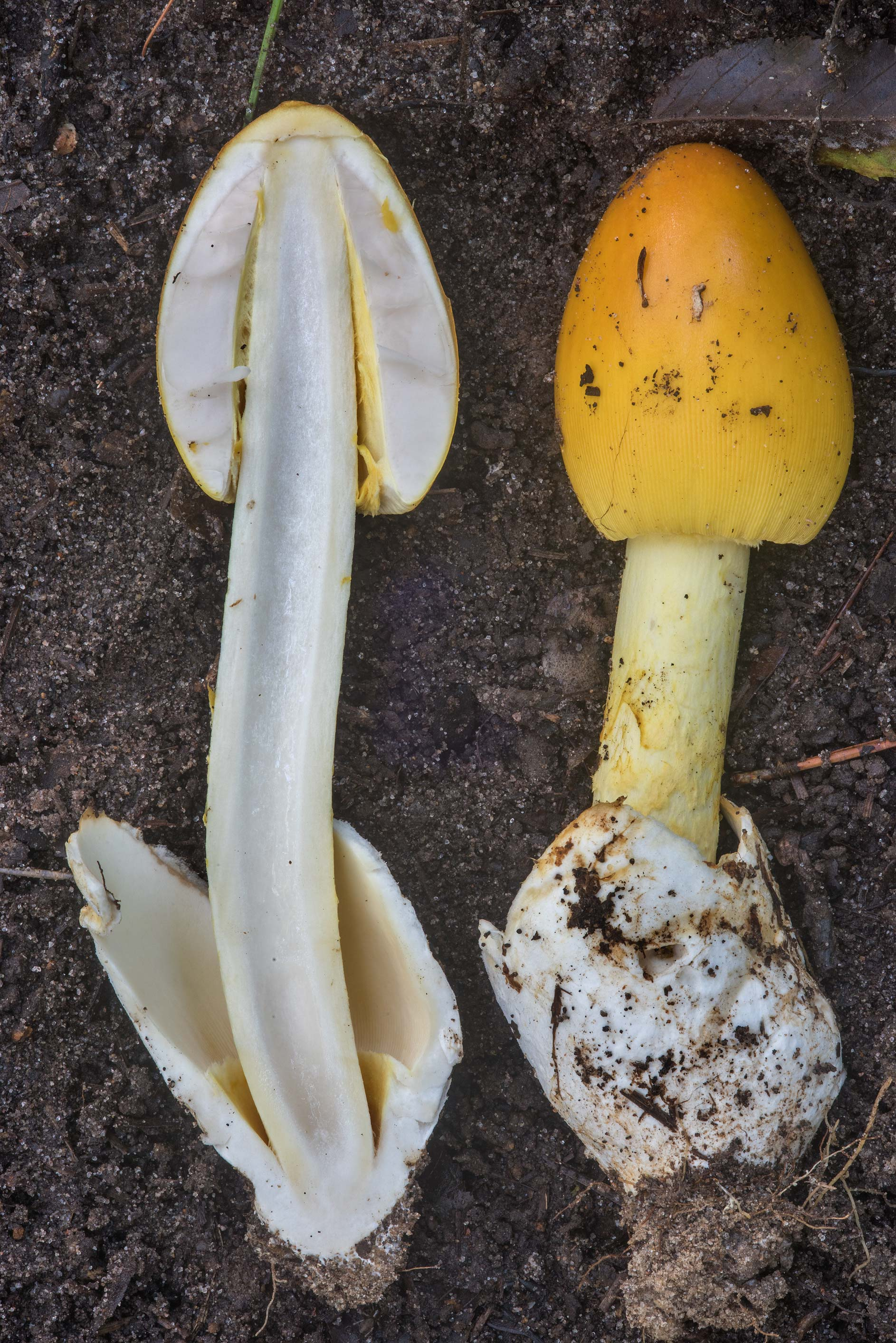 Dissected Amanita sect. Caesareae mushroom on...National Forest near Huntsville, Texas