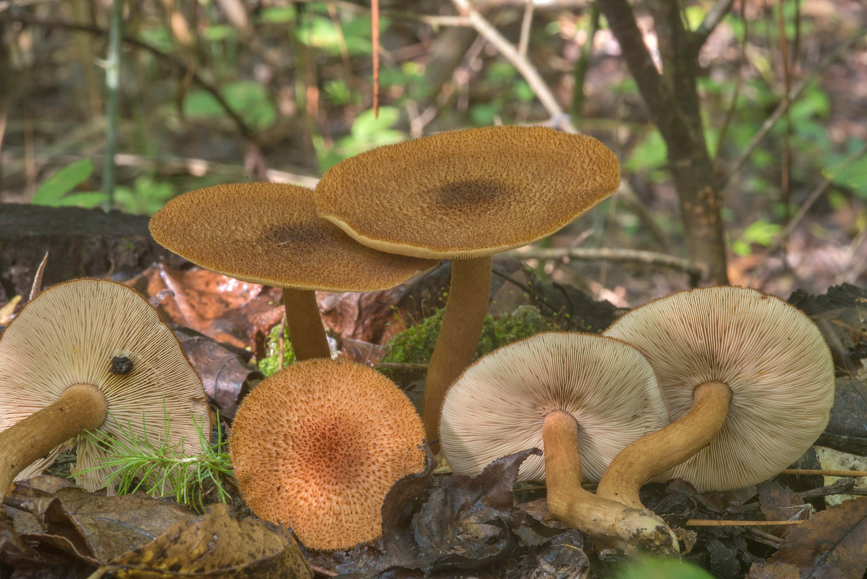 Tricholomopsis formosa mushrooms on a pine stump...National Forest near Huntsville, Texas