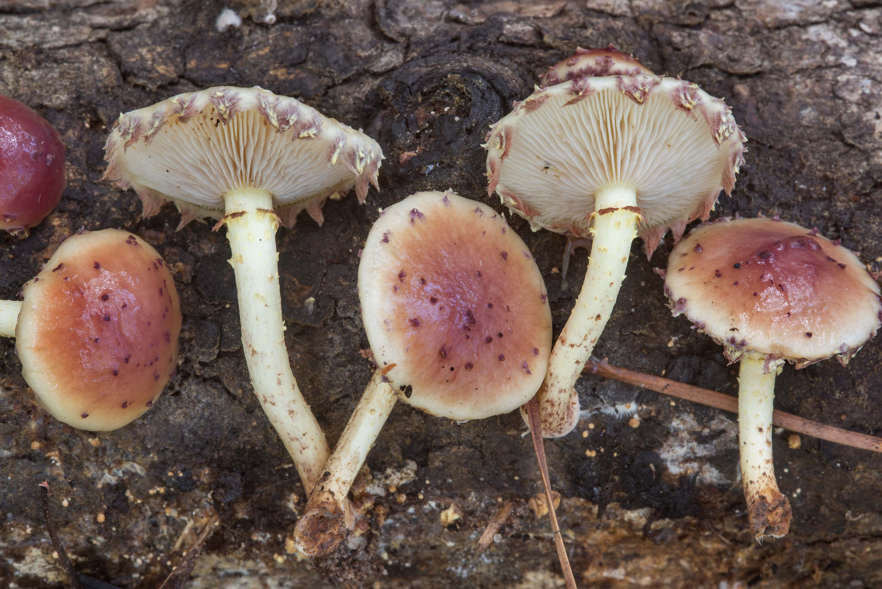 Close up of scalycap mushrooms Pholiota polychroa...National Forest near Huntsville, Texas