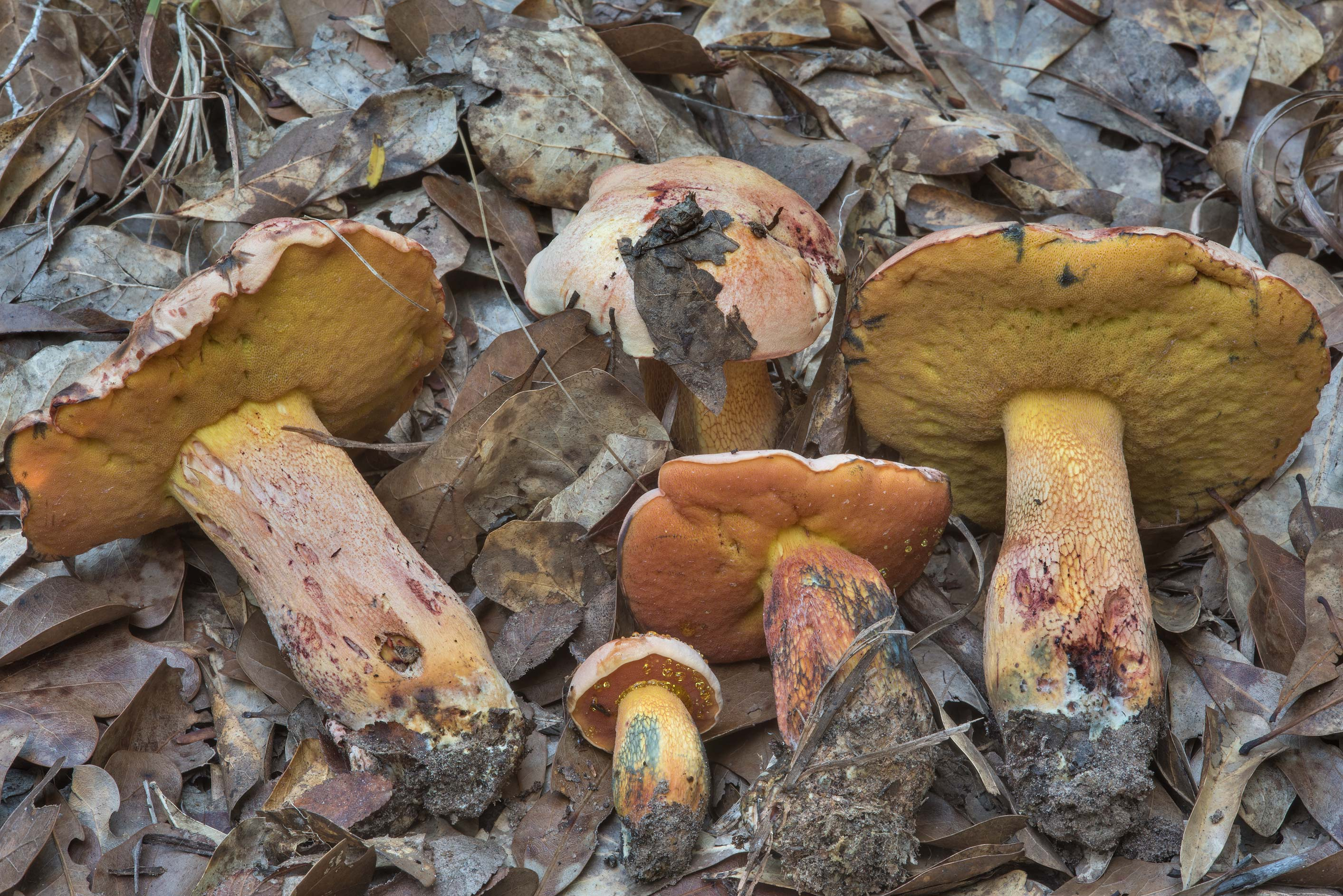 Group of Butyriboletus floridanus mushrooms under...Creek Park. College Station, Texas