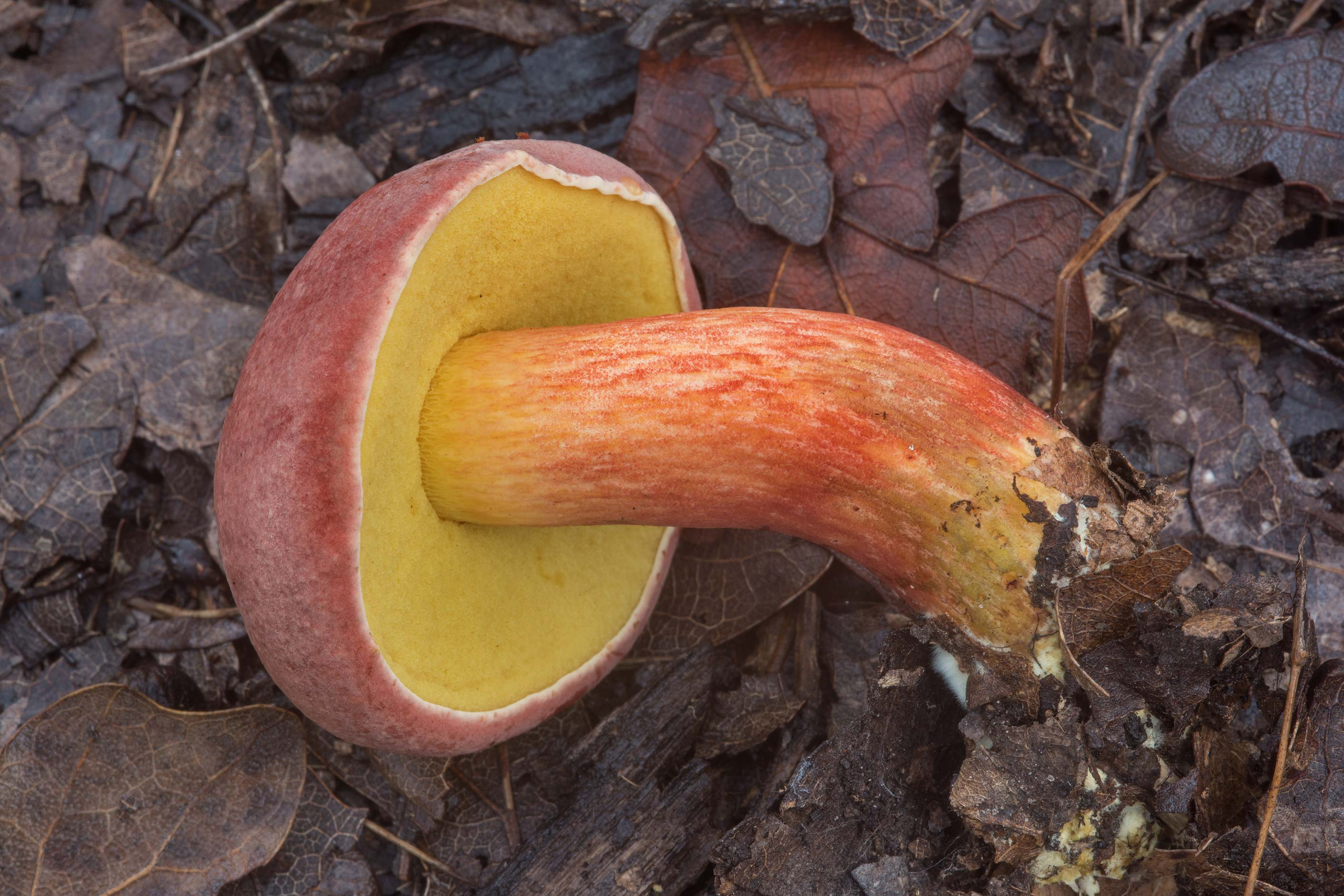 Young bolete mushroom Pulchroboletus...Creek Park. College Station, Texas