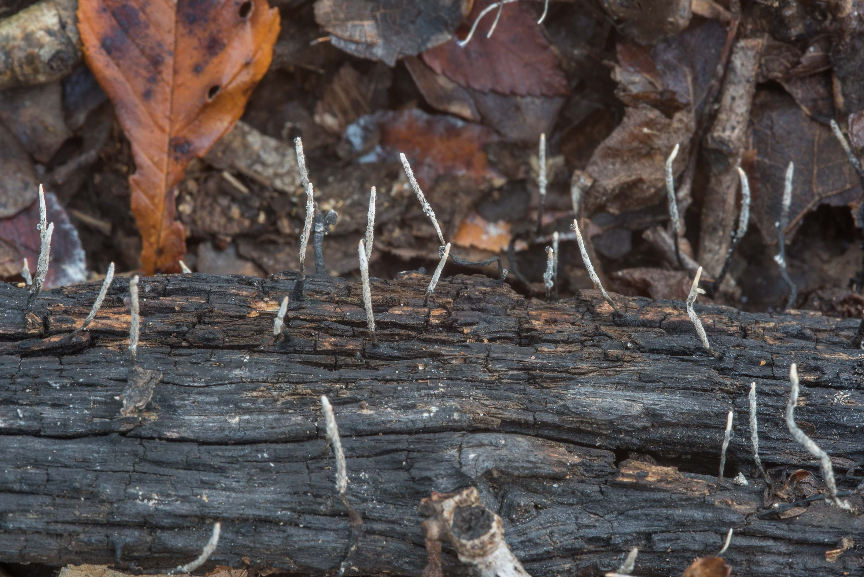 Thin Xylaria mushrooms on a rotten oak log in Lick Creek Park. College Station, Texas