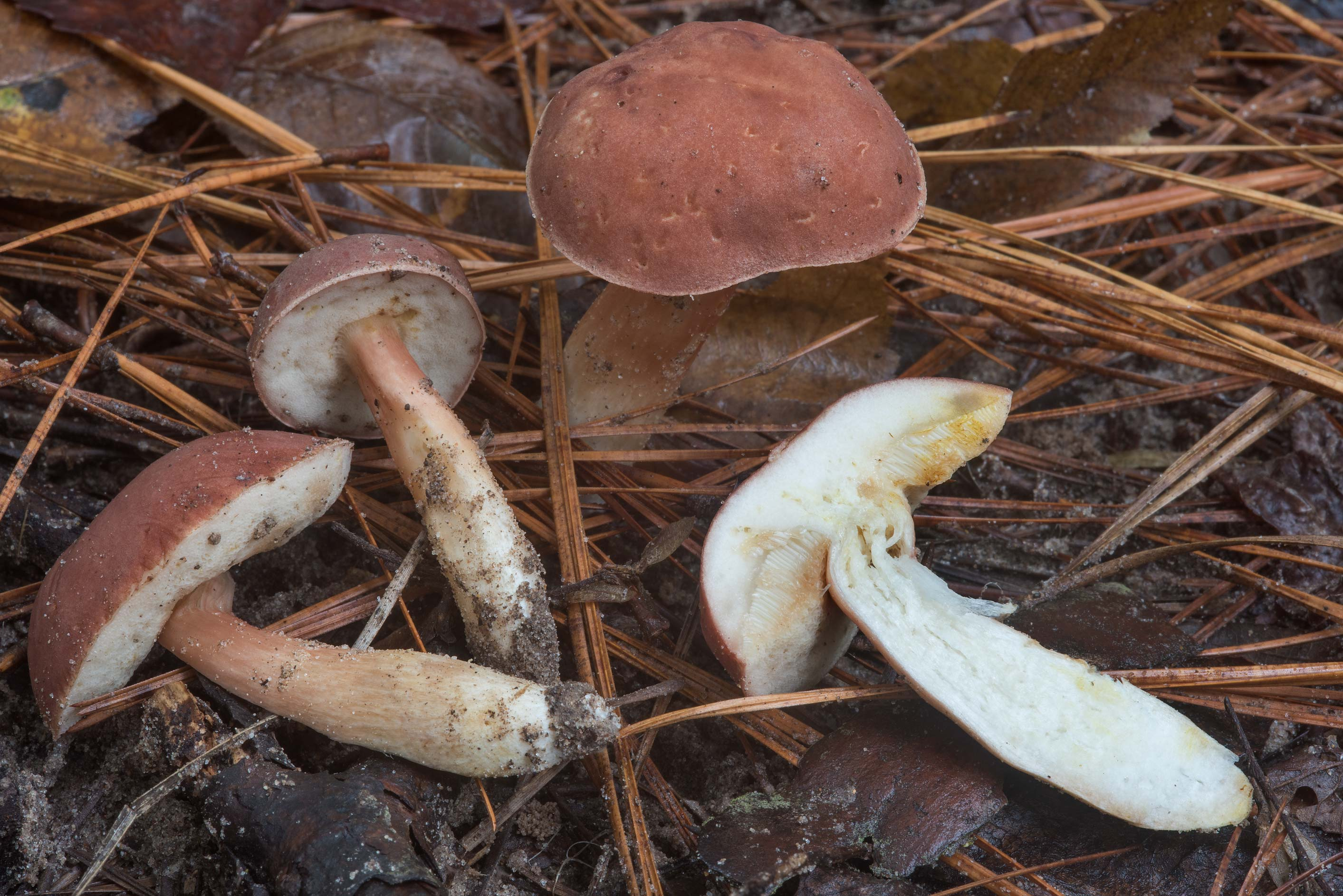 Dissected bolete mushrooms Xanthoconium purpureum...Forest, near Huntsville. Texas