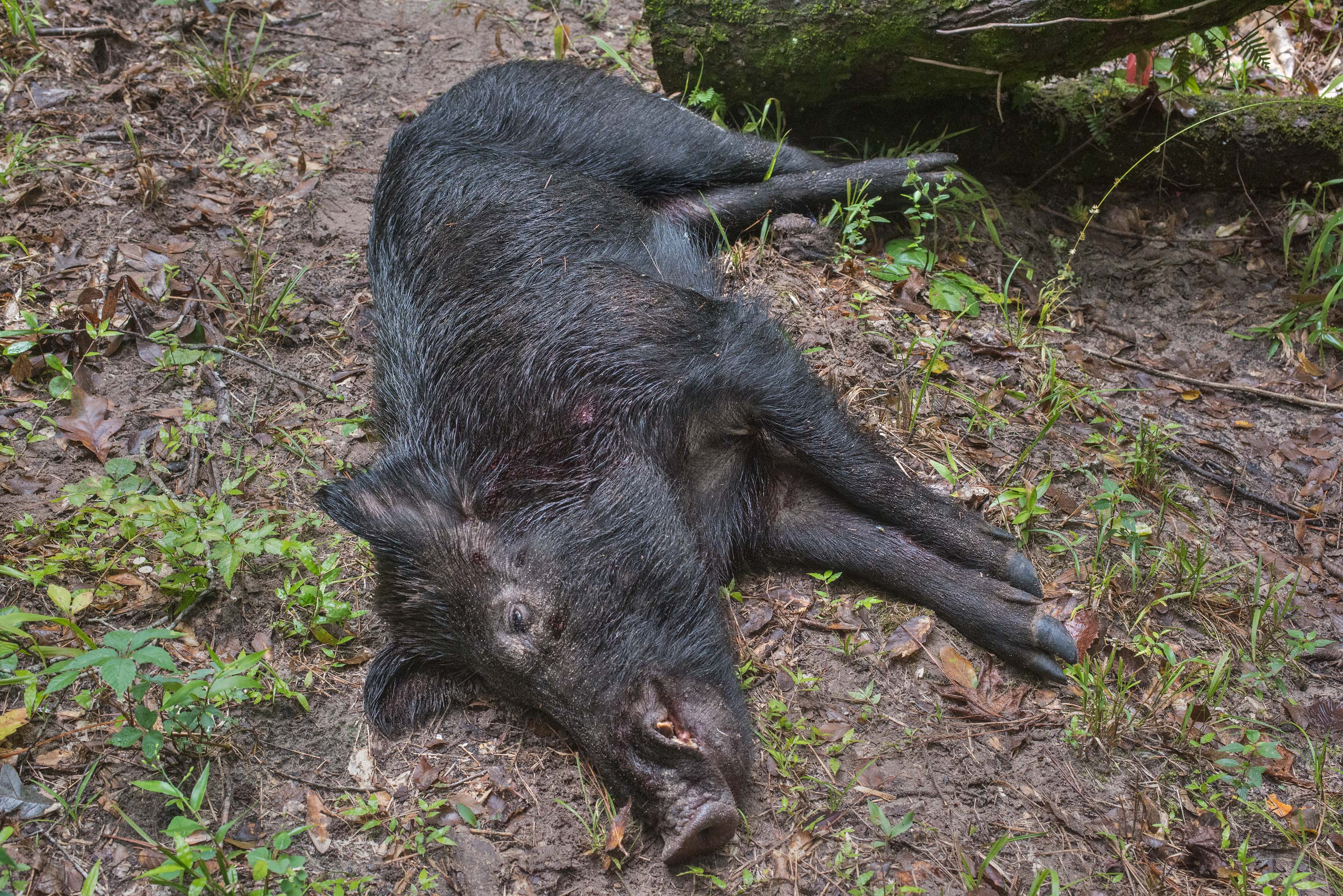 Freshly shot wild hog on Caney Creek Trail...Forest, near Huntsville. Texas