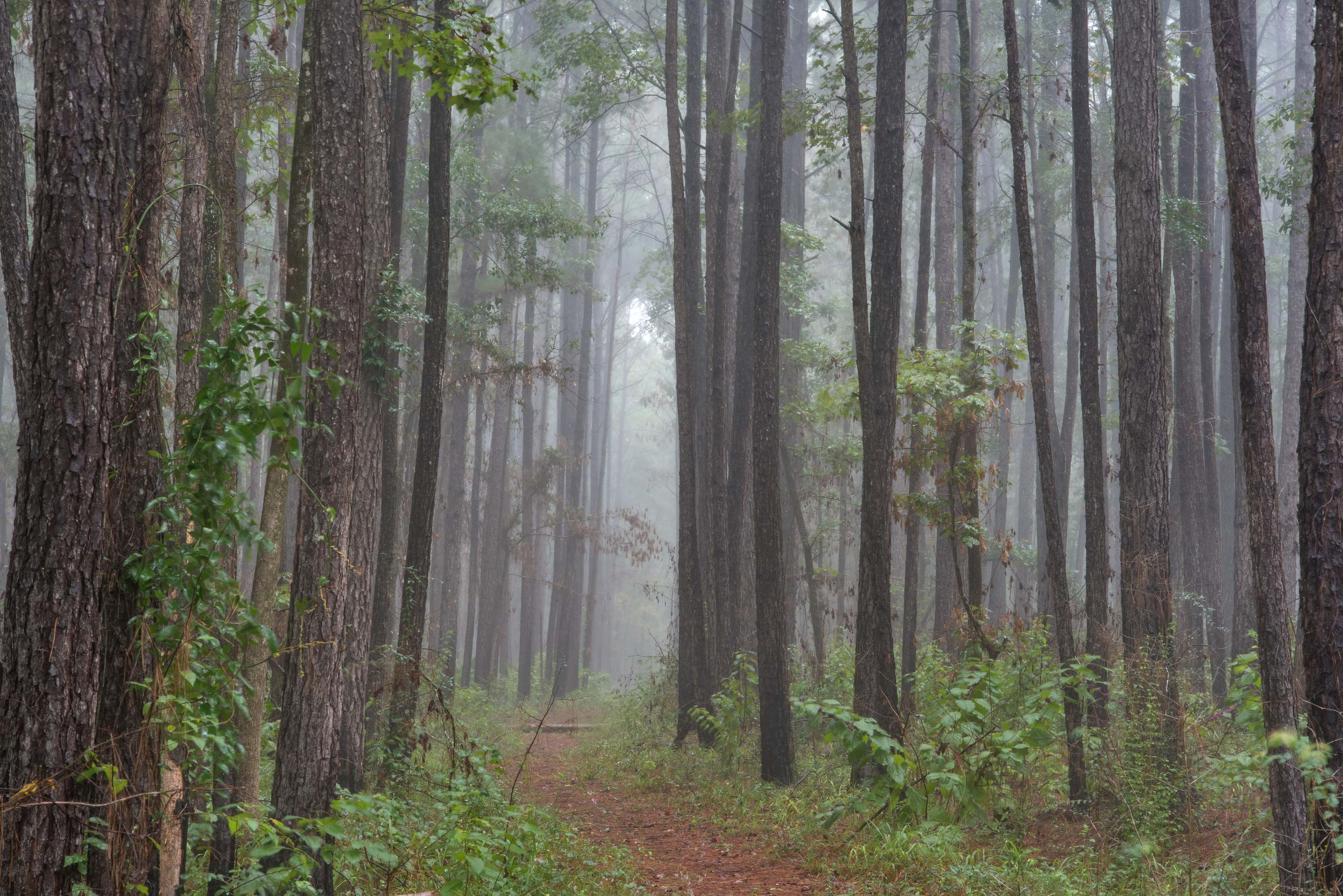 Pine forest at rain on Caney Creek section of...National Forest near Huntsville, Texas