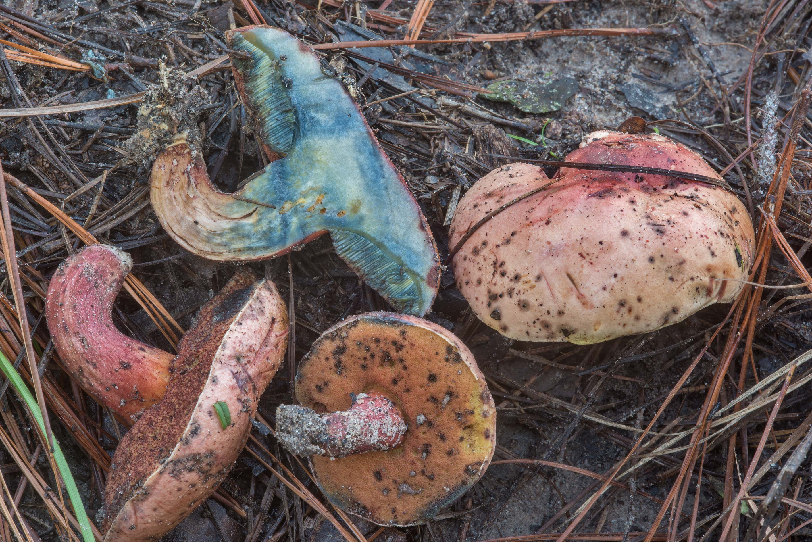 Dissected purple bolete mushrooms on Little Lake...National Forest. Richards, Texas