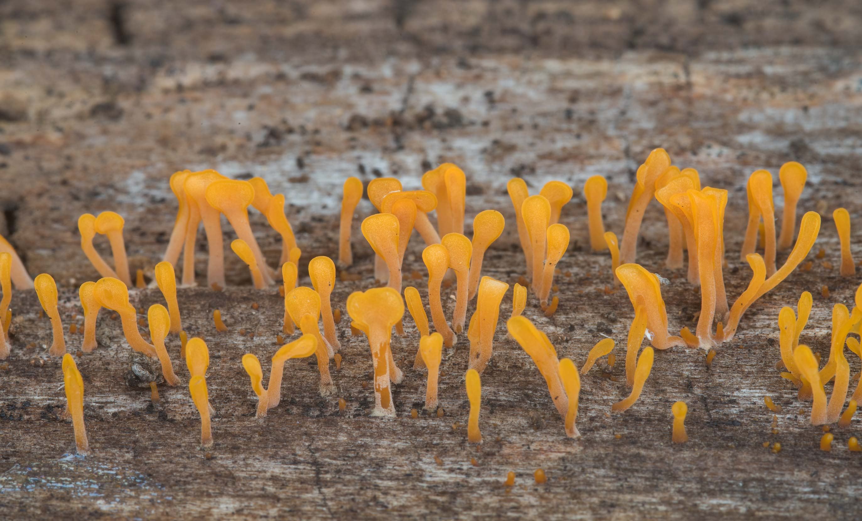 Orange jelly fungus Dacryopinax spathularia on a...State Historic Site. Washington, Texas