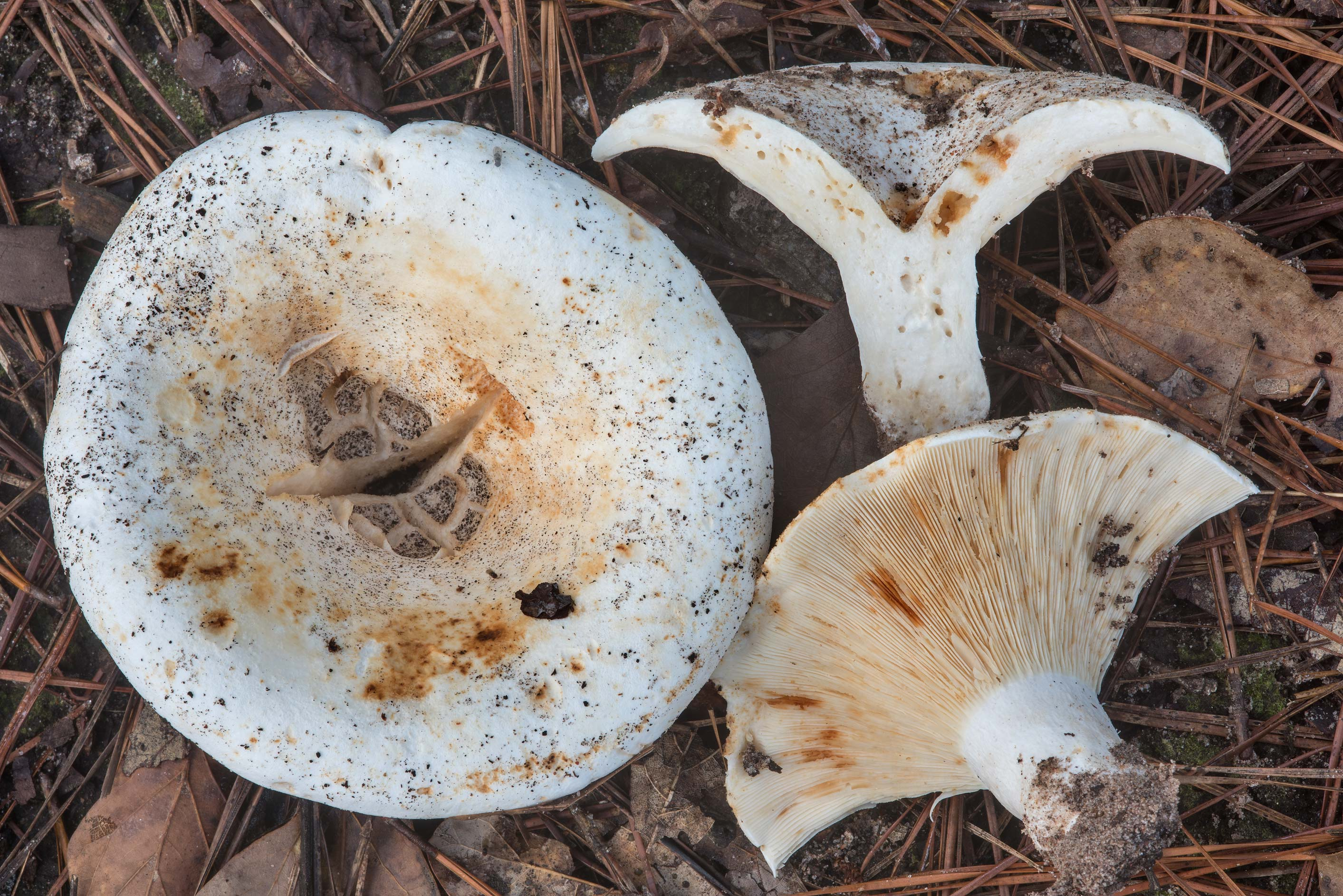 Short-stemmed russula mushrooms (stubby...National Forest. Richards, Texas