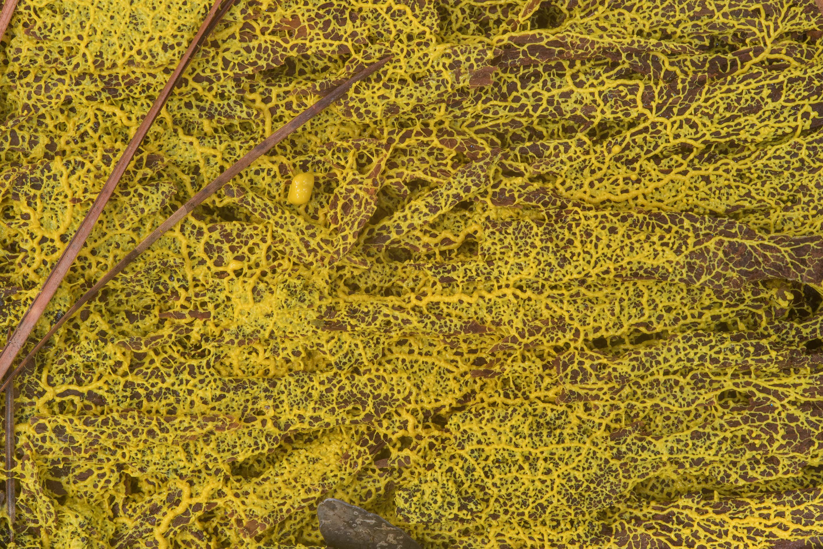 Close up of yellow netted slime mold on a rotten...National Forest. Richards, Texas