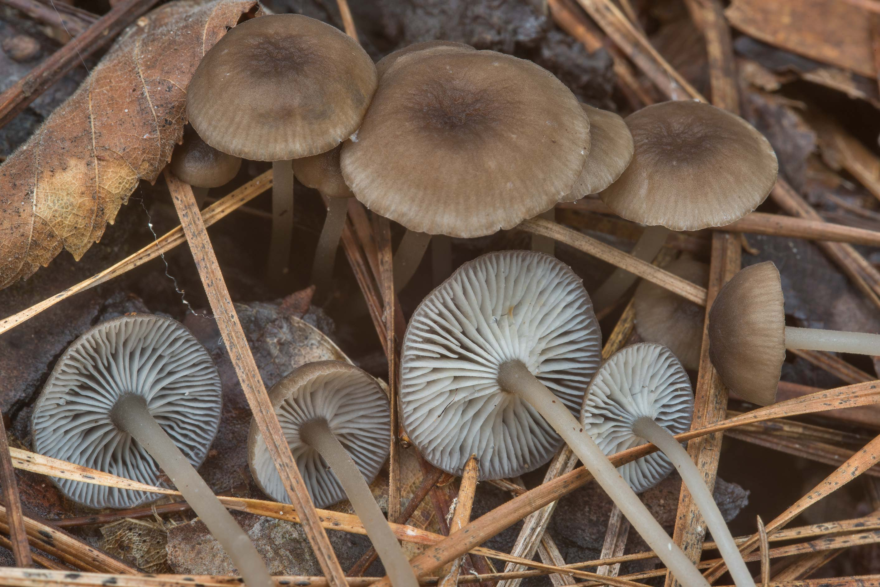 Close up of mushrooms Hydropus marginellus on...National Forest. Richards, Texas