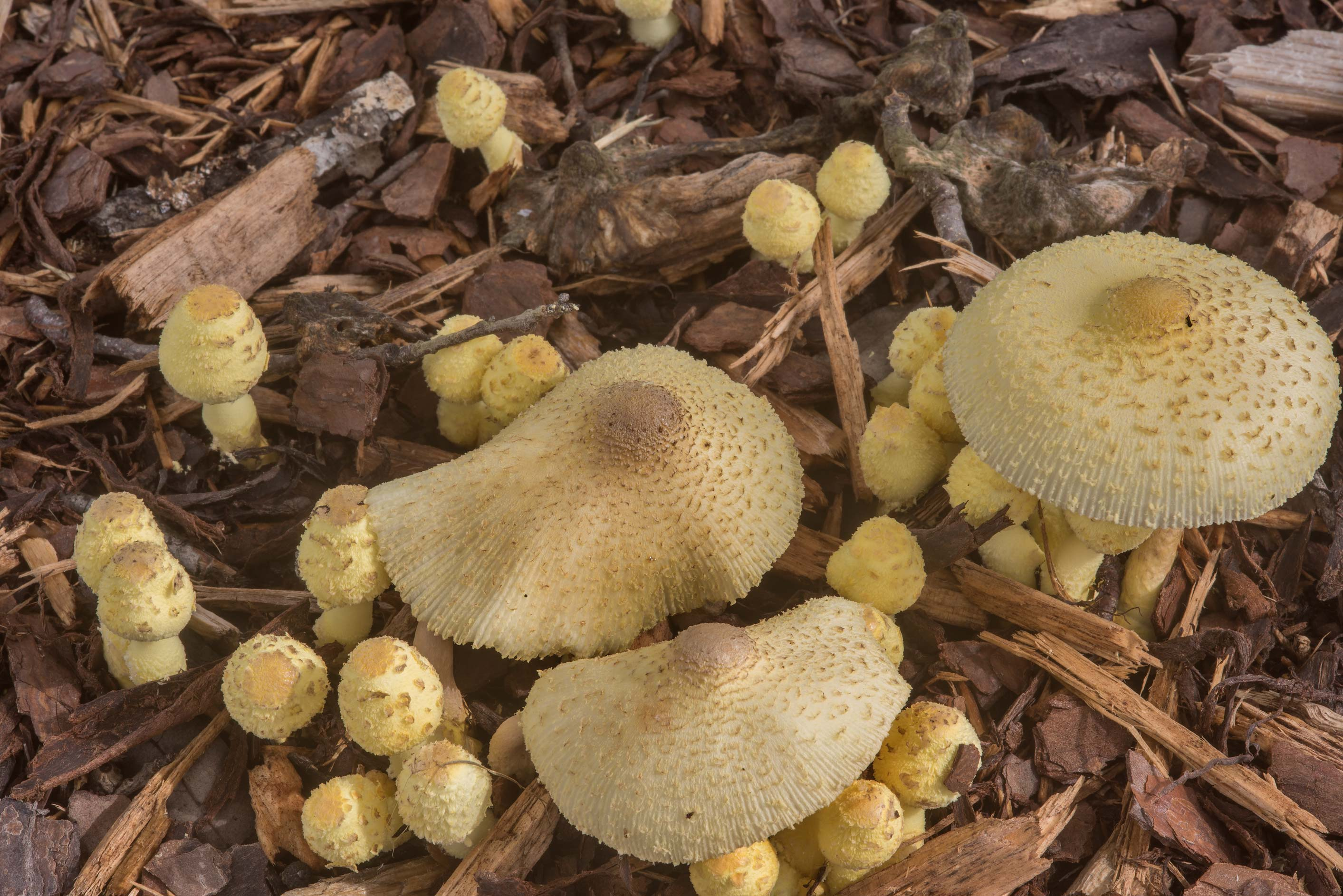 Young and mature yellow parasol mushrooms...M University. College Station, Texas