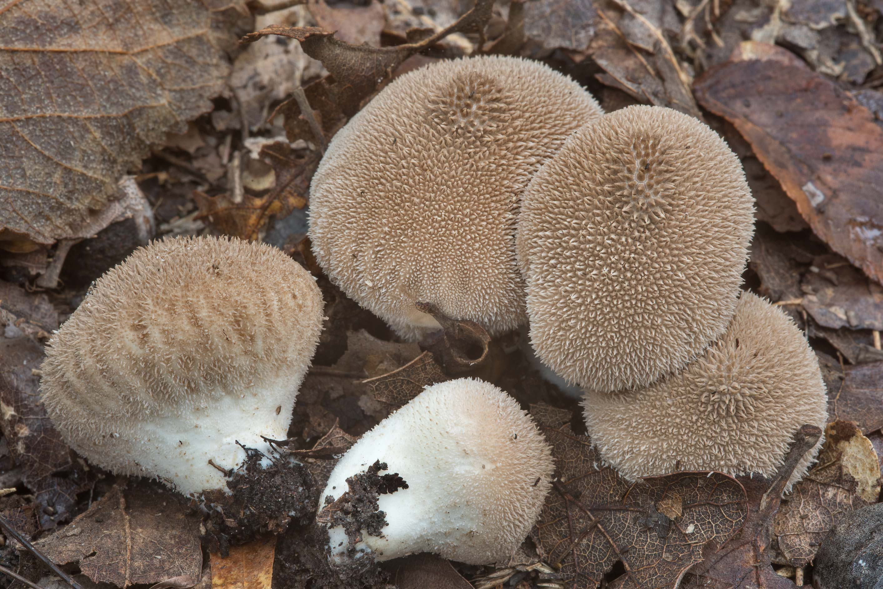 Puffball mushrooms Lycoperdon umbrinum in Lick Creek Park. College Station, Texas