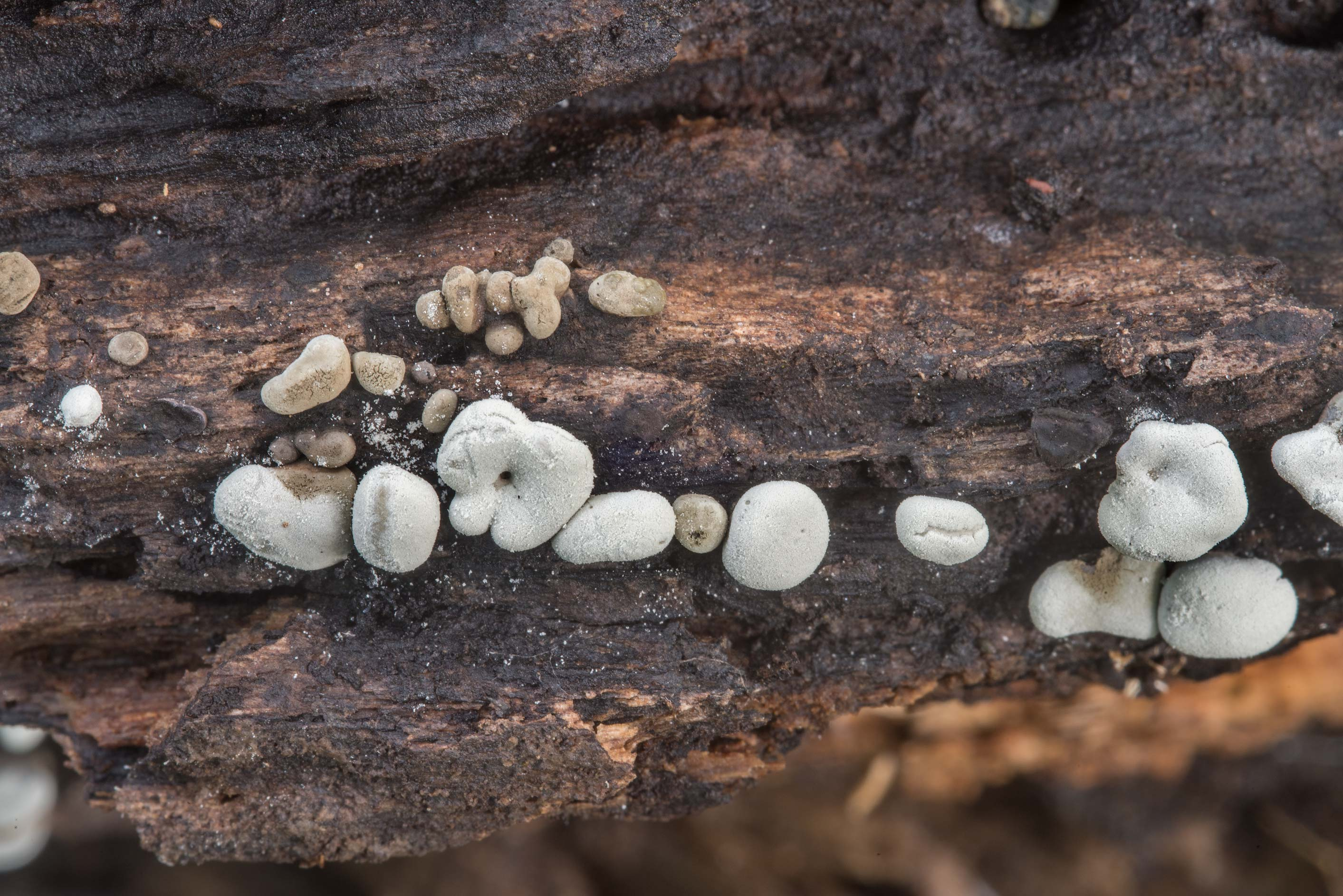 Small pebble-shaped Xylaria mushrooms on rotten...Creek Park. College Station, Texas