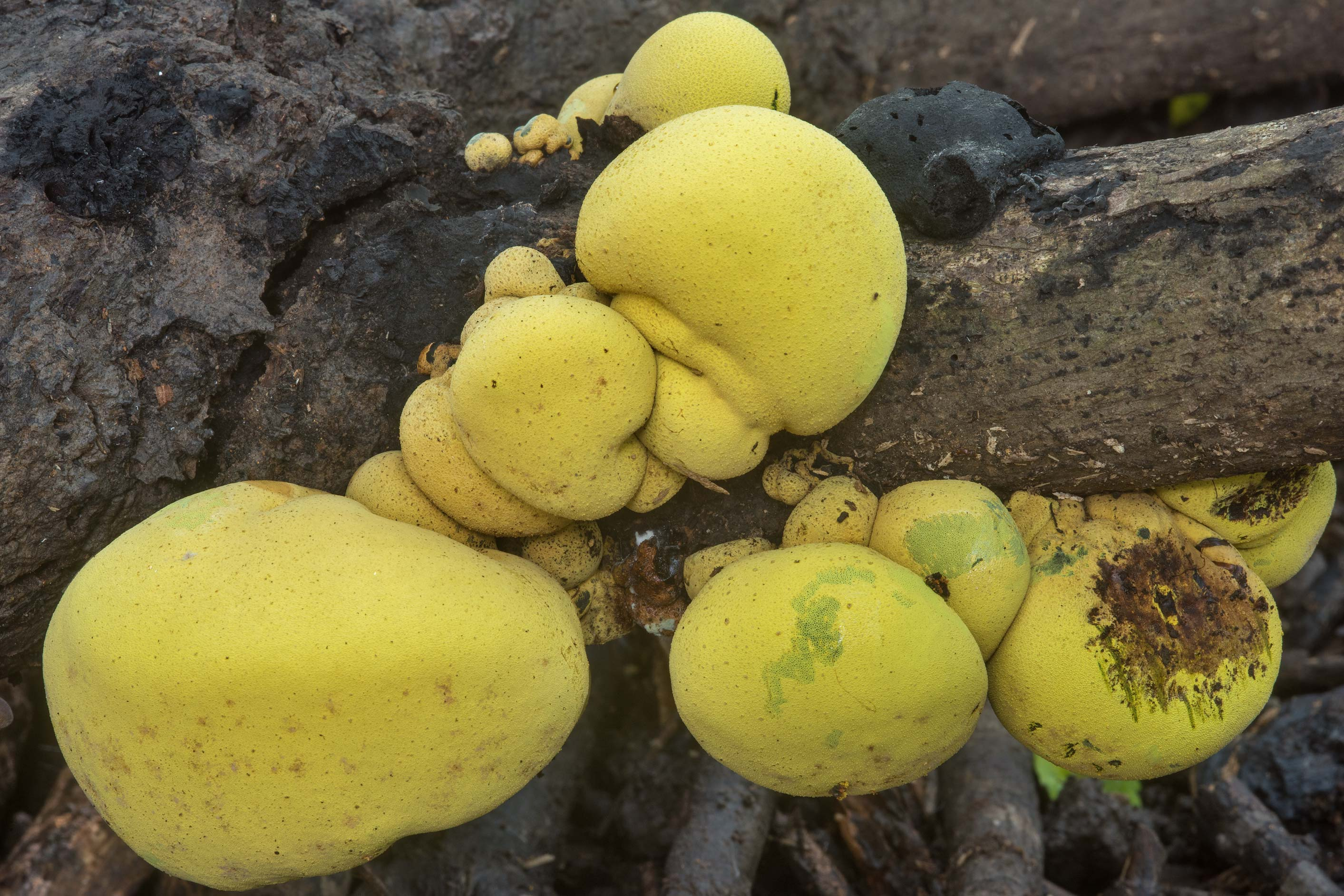 Yellow mushrooms Entonaema liquescens on a log in Lick Creek Park. College Station, Texas