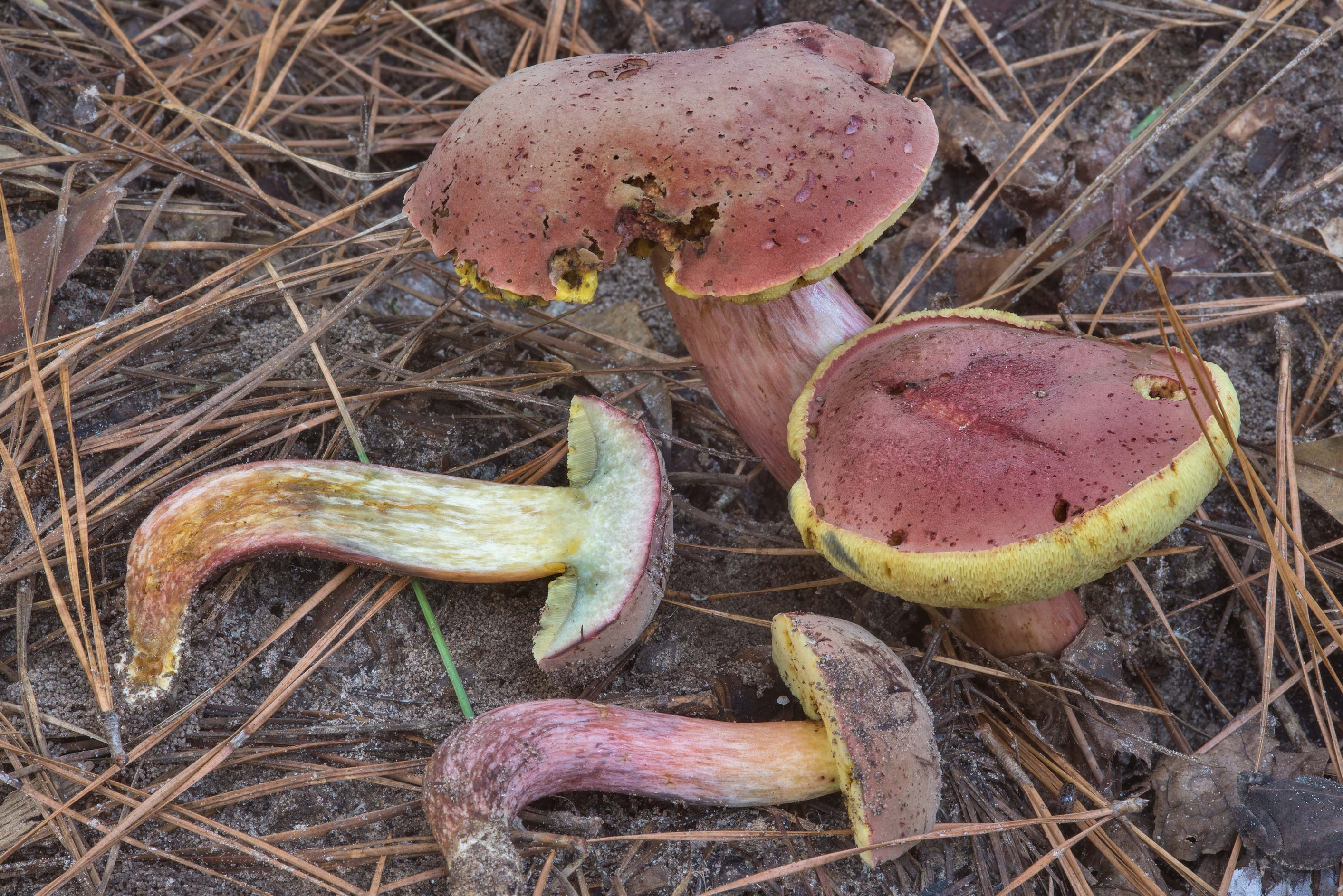 Dissected Boletus patrioticus mushrooms on Caney...National Forest near Huntsville. Texas