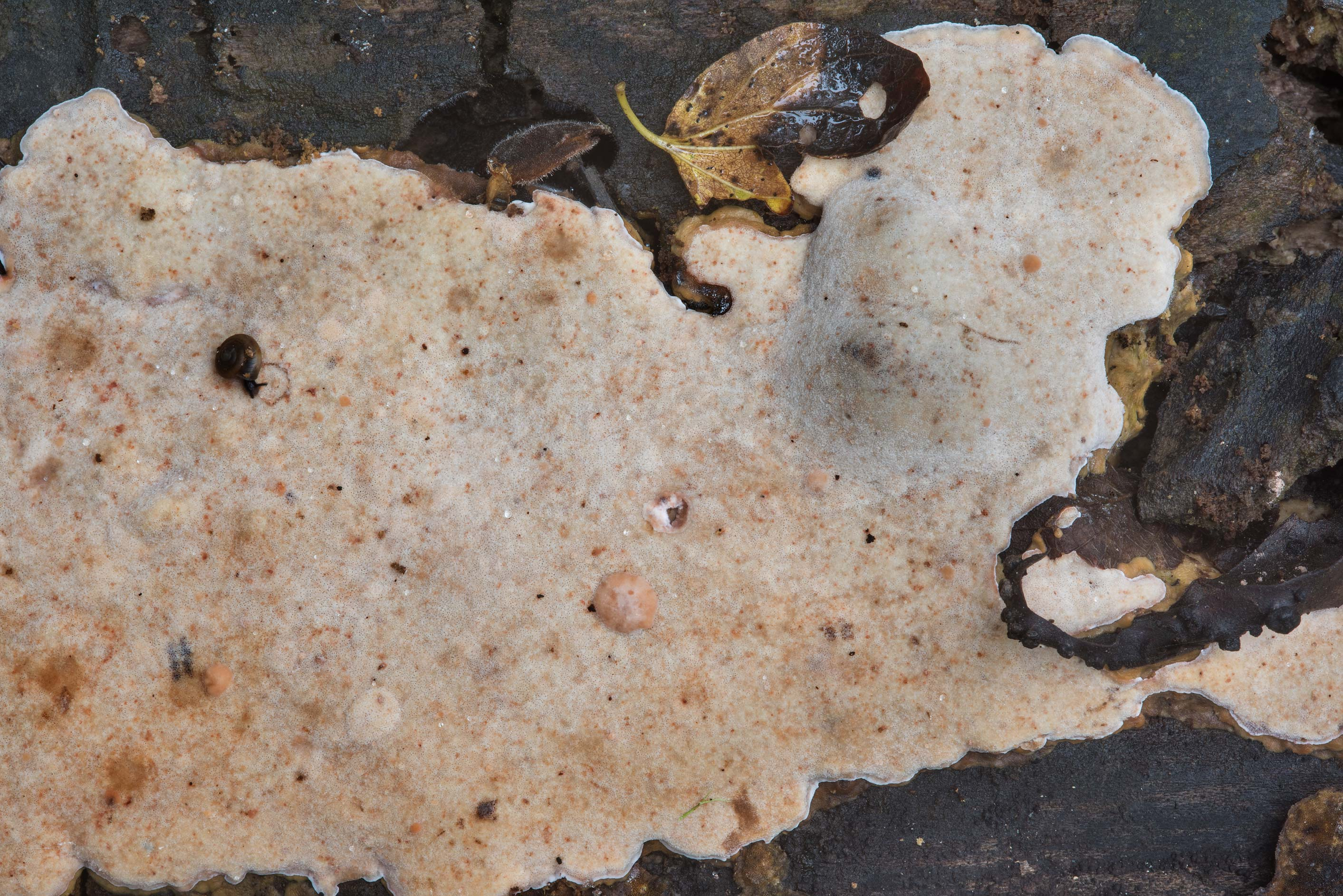 Pale brown porous crust fungus on a fallen oak in Lick Creek Park. College Station, Texas