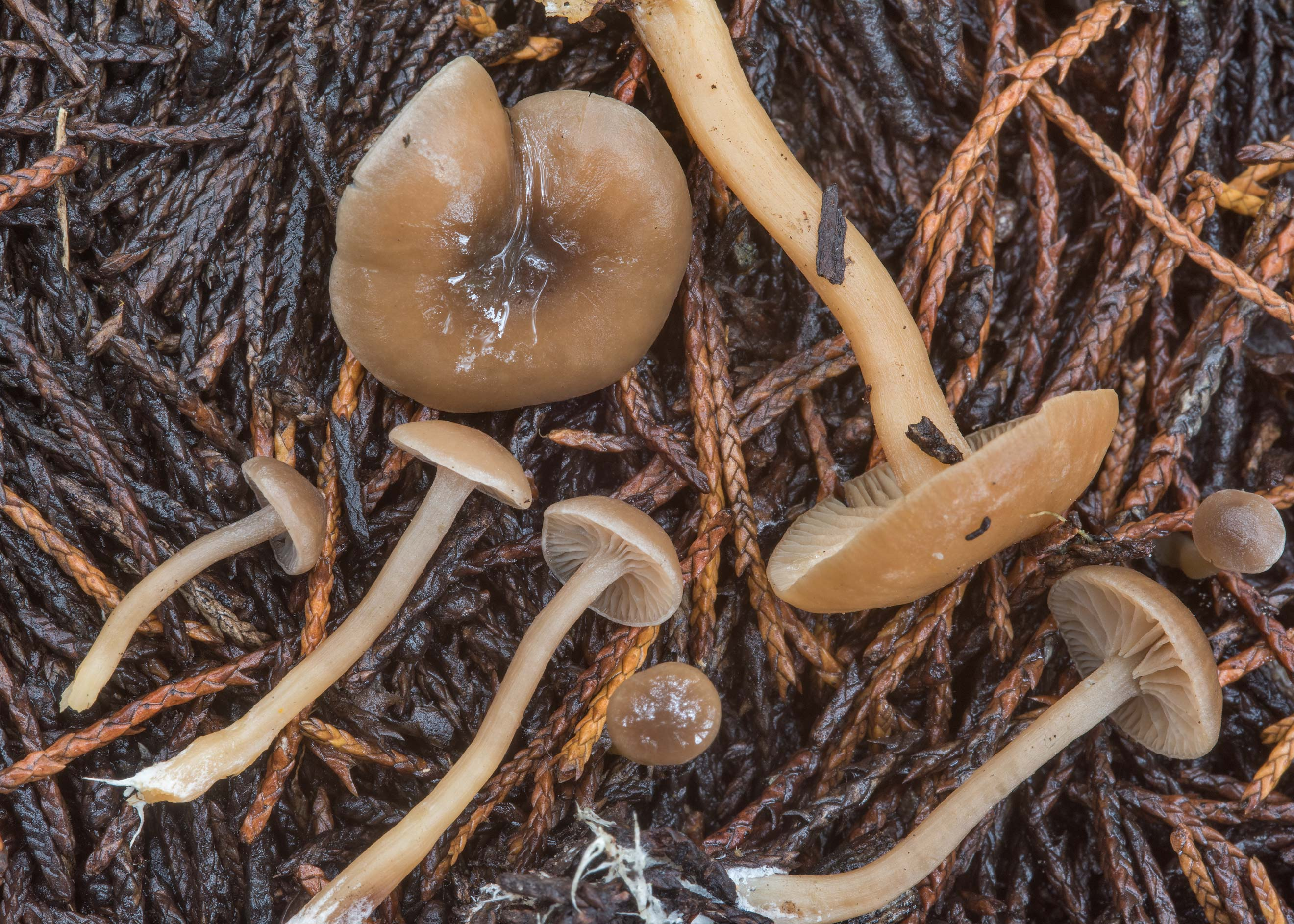 Close up of Tephrocybe mushrooms under red cedar...lake in Lake Bryan Park. Bryan, Texas