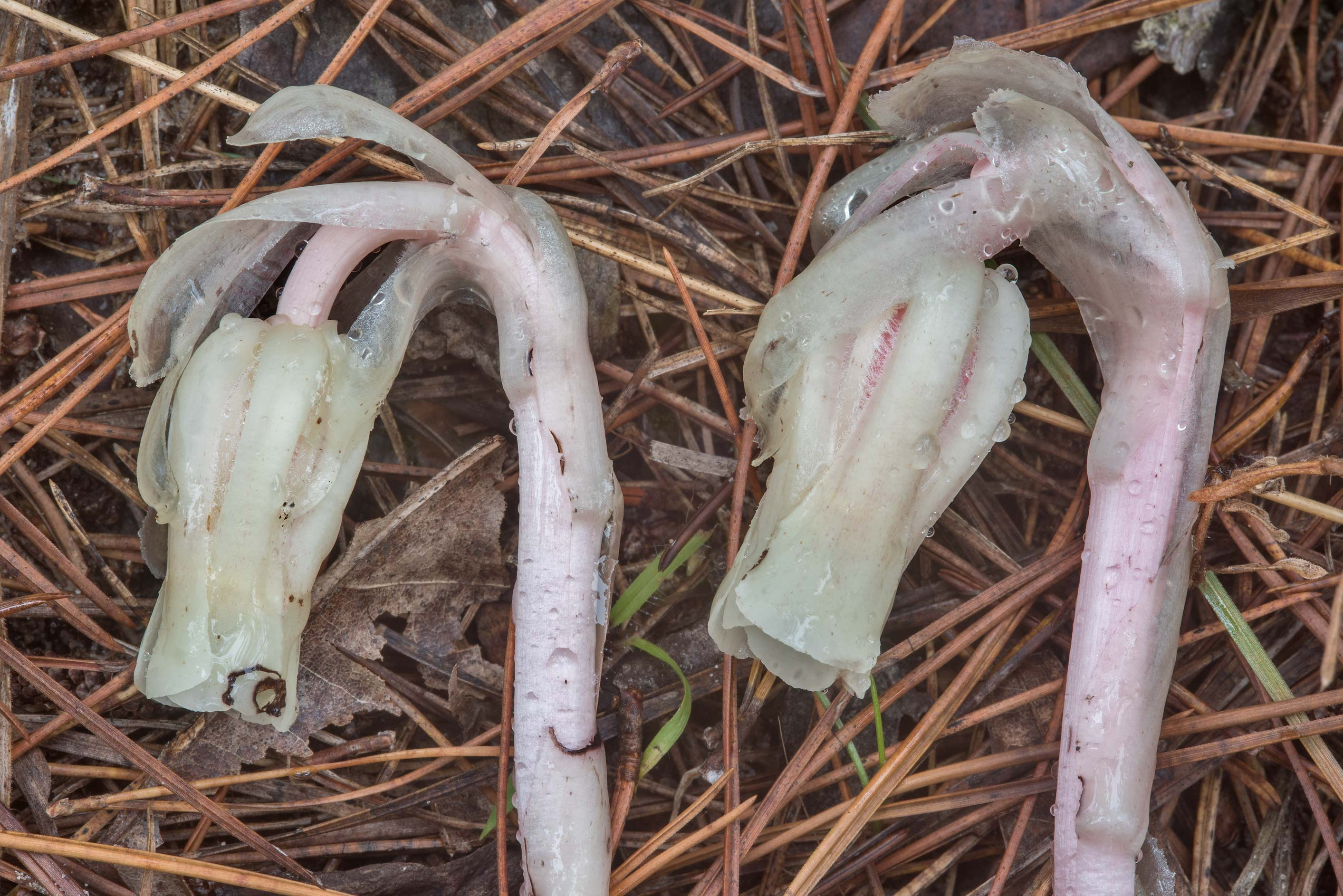 Indian pipe plants (Monotropa uniflora) on Little...National Forest. Richards, Texas